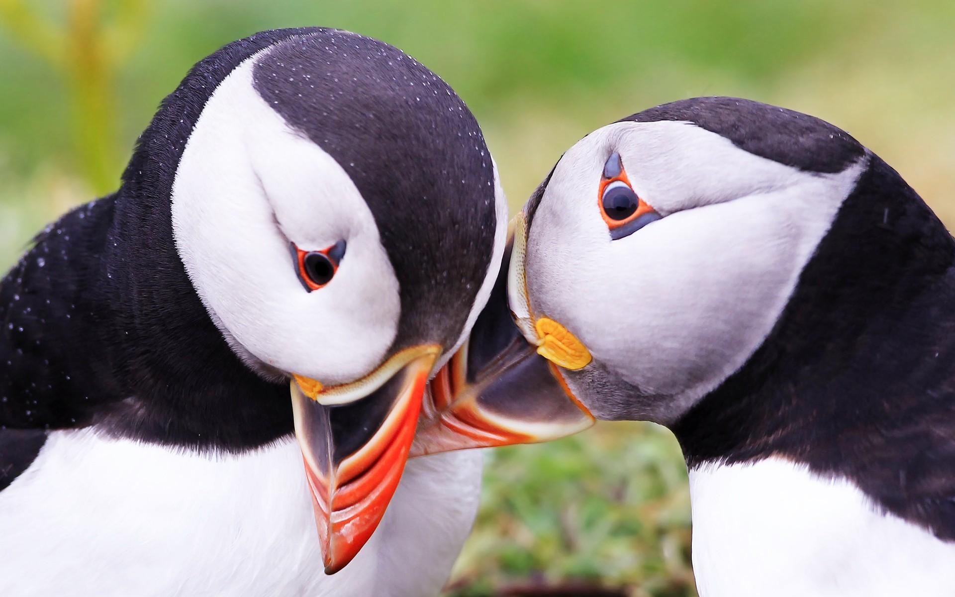 Dos pinguinos - 1920x1200