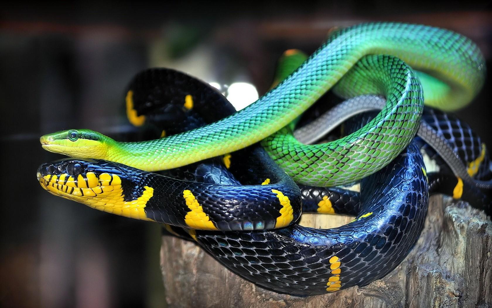 Dos serpientes - 1680x1050