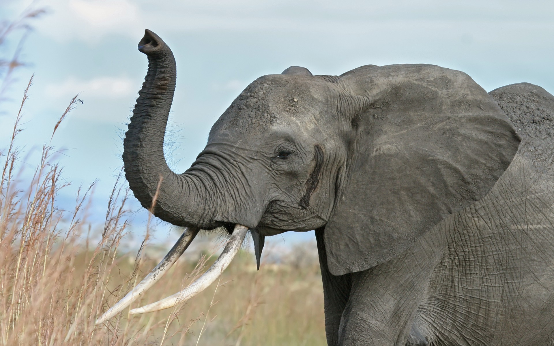 Elefante Africano - 1920x1200