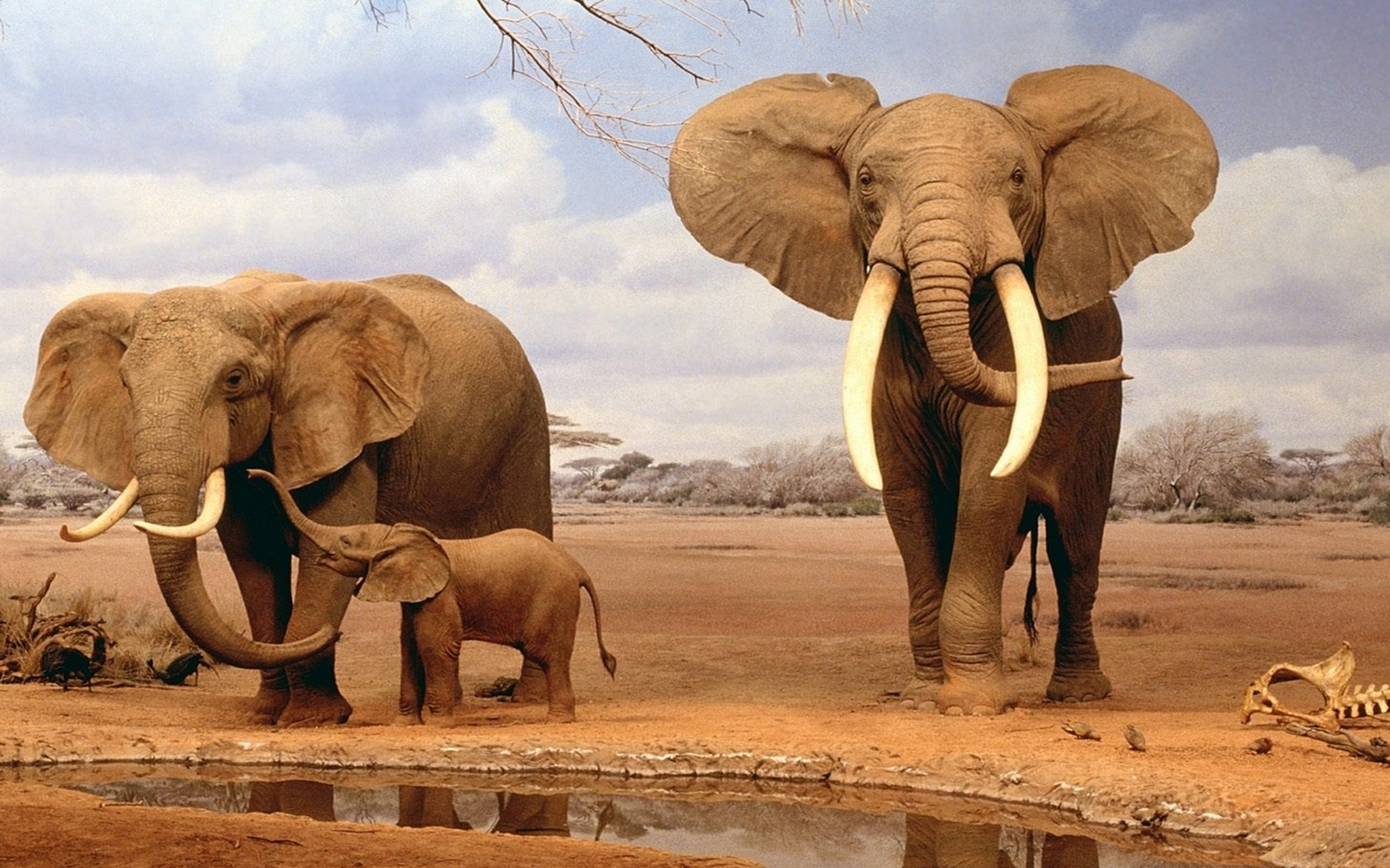 Familia de Elefantes - 1680x1050