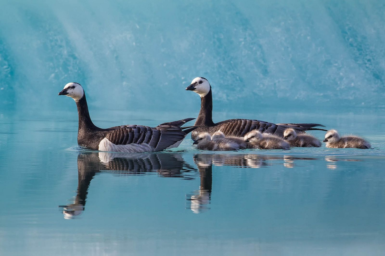 Familia de patos nadando - 1600x1066