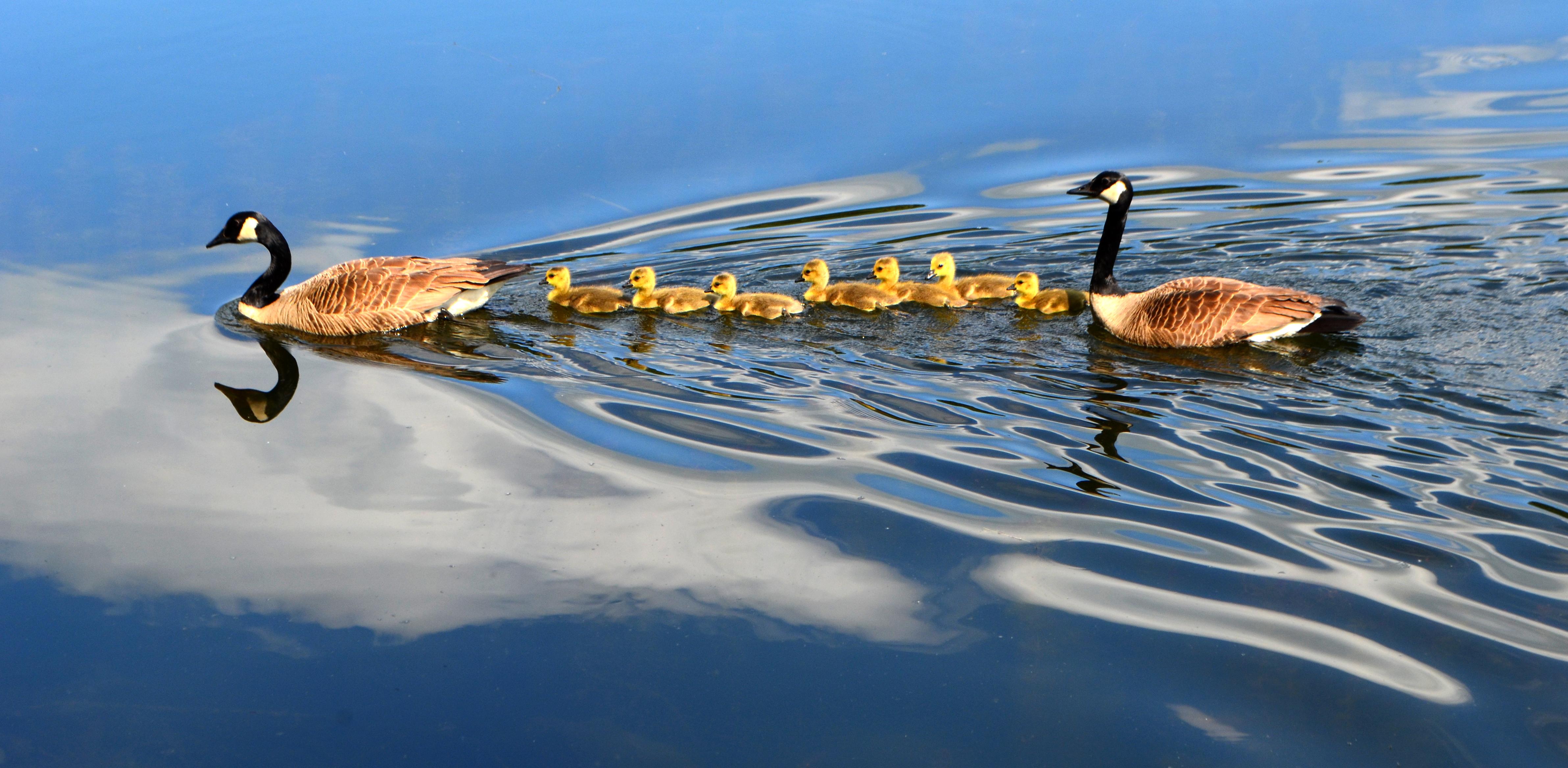 Familia de patos nadando en el lago - 4768x2336