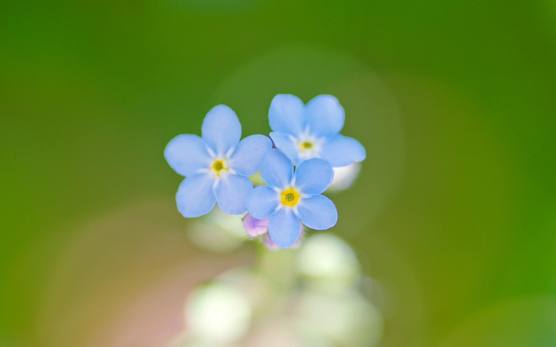 Flores azules en macro - 1920x1200