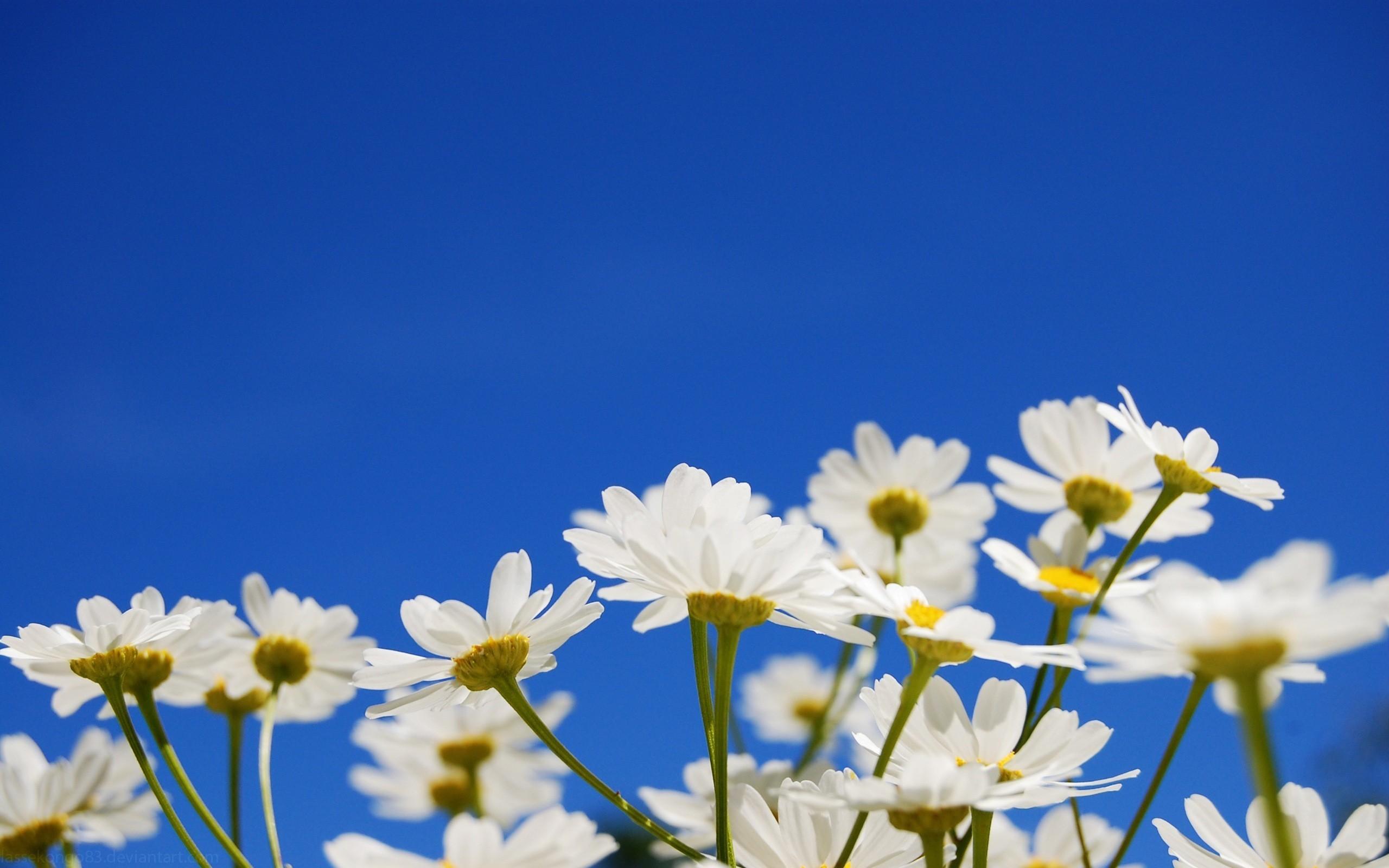 Flores blancas margaritas - 2560x1600