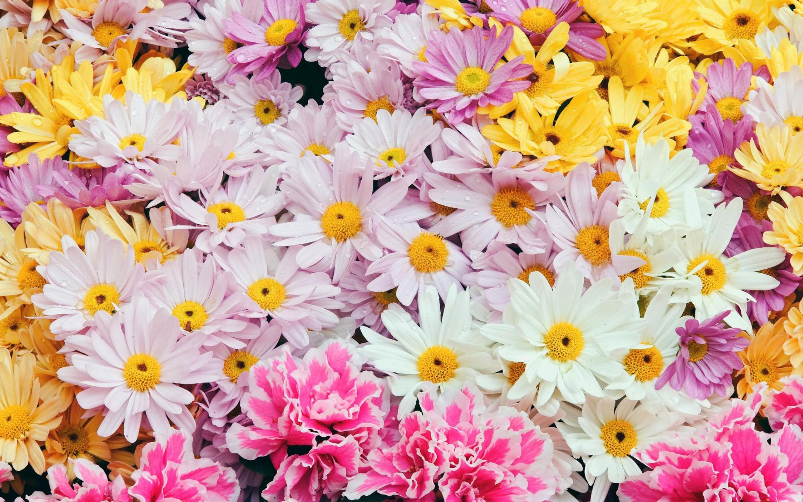 Flores margaritas de colores - 2560x1600