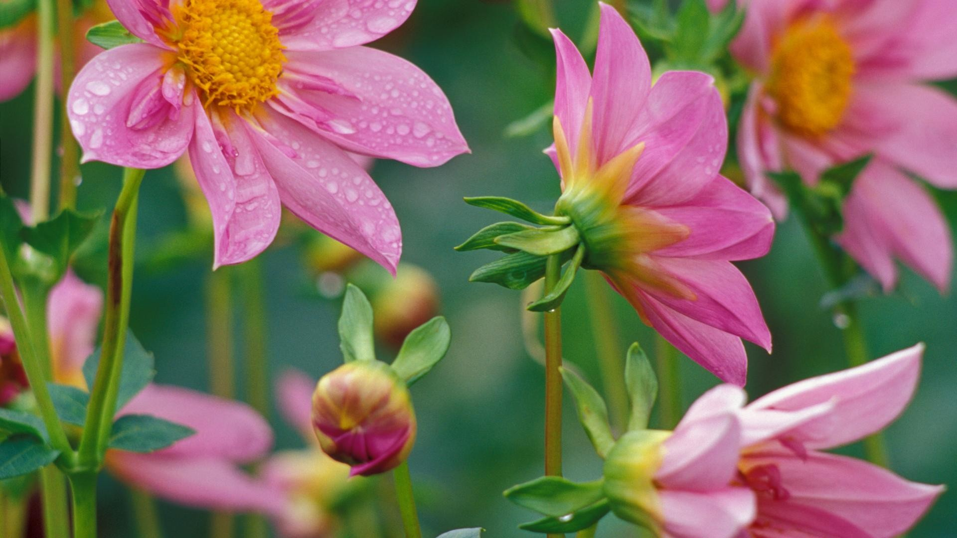 Flores rosadas - 1920x1080