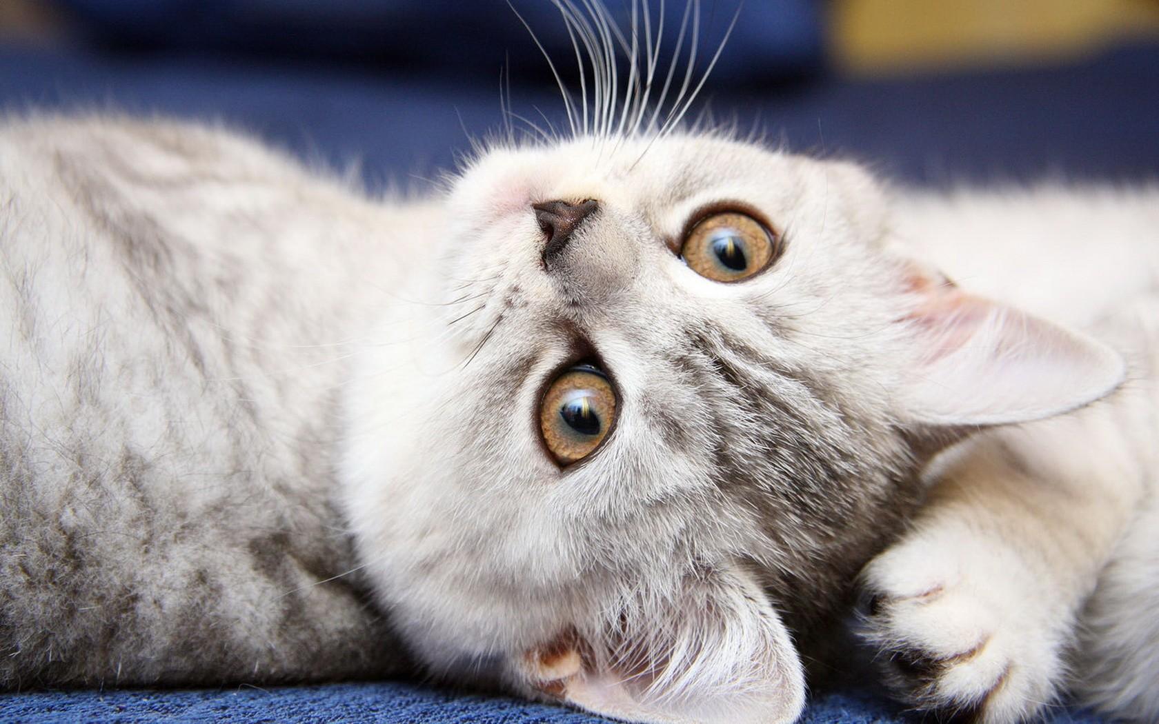Gato blanco volteado - 1680x1050