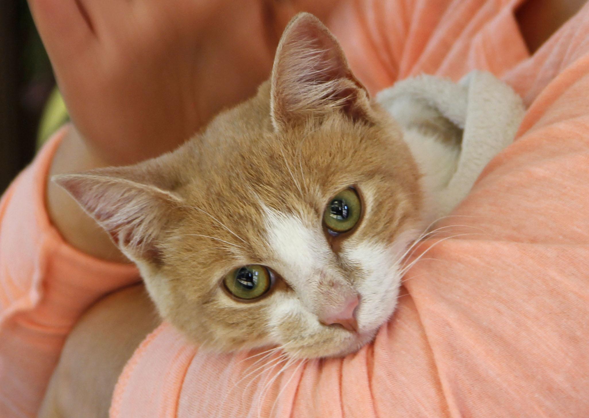 Gato dorado - 2052x1458