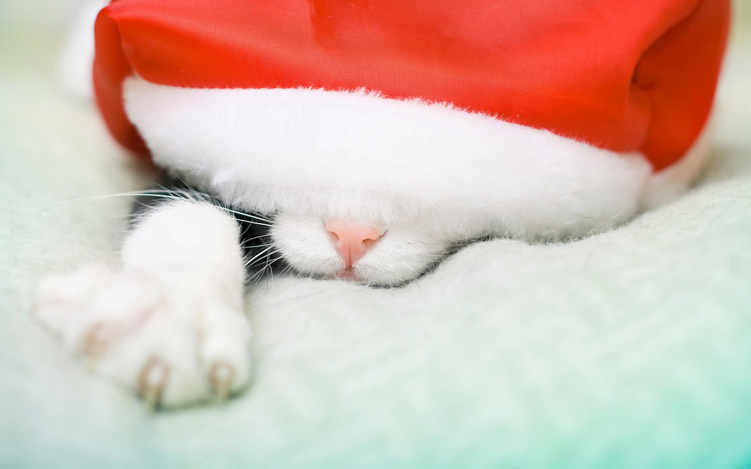 Gato durmiendo con gorra de navidad - 2560x1600