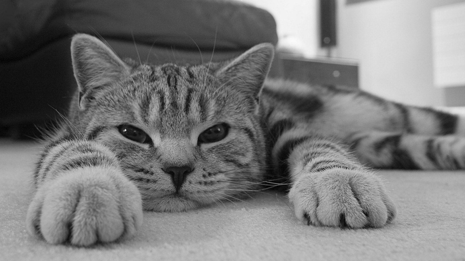 Gato en blanco y negro - 1920x1080