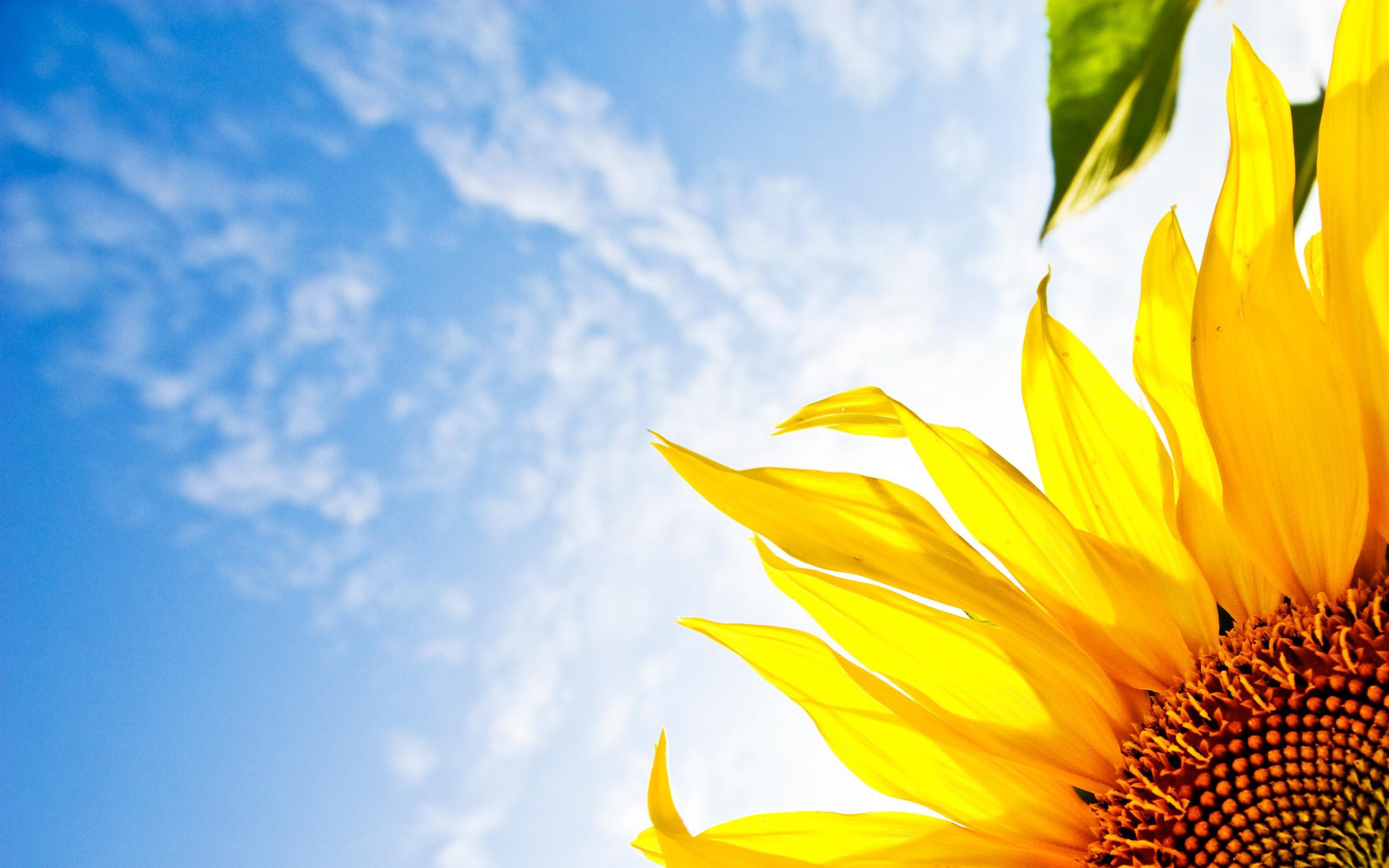 Girasol a la luz del sol - 2579x1612