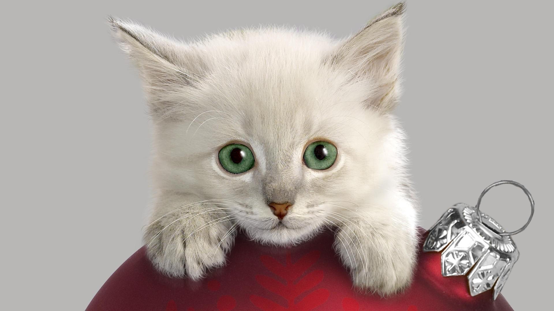 Hermoso gato blanco - 1920x1080