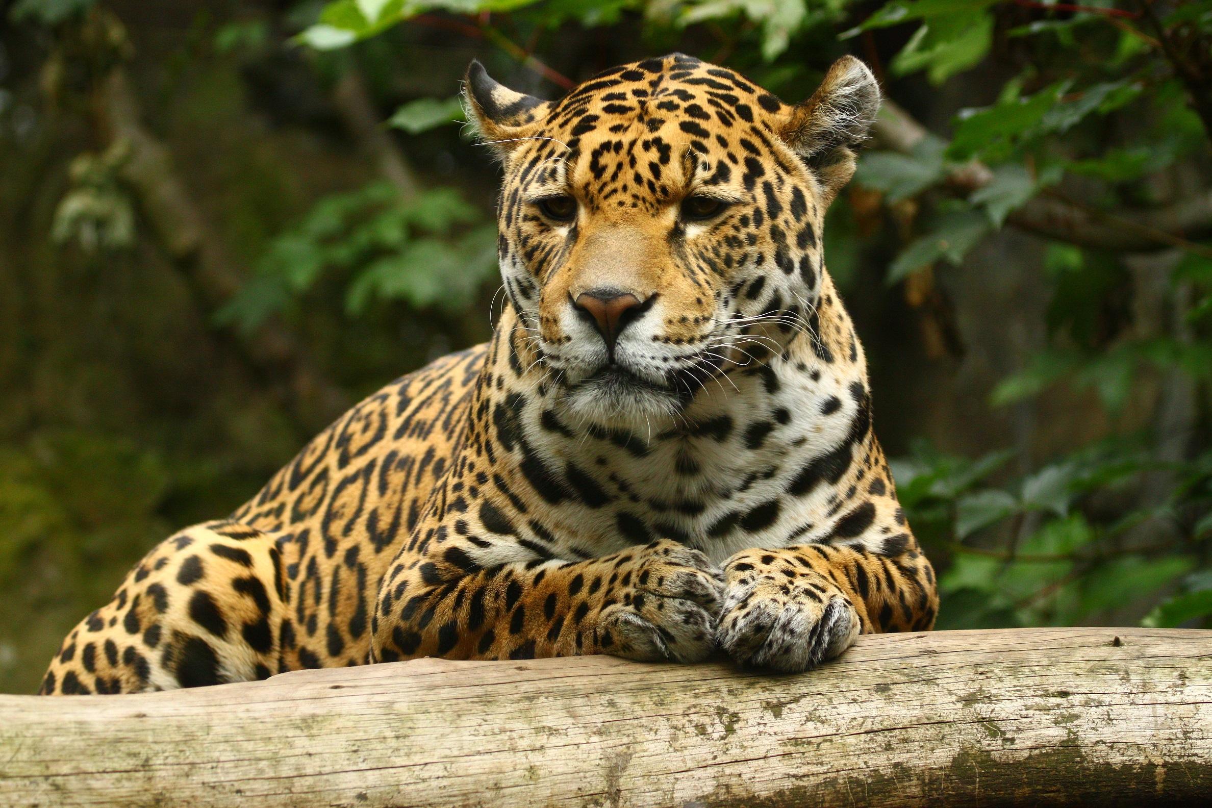 Jaguar en la selva - 2376x1584