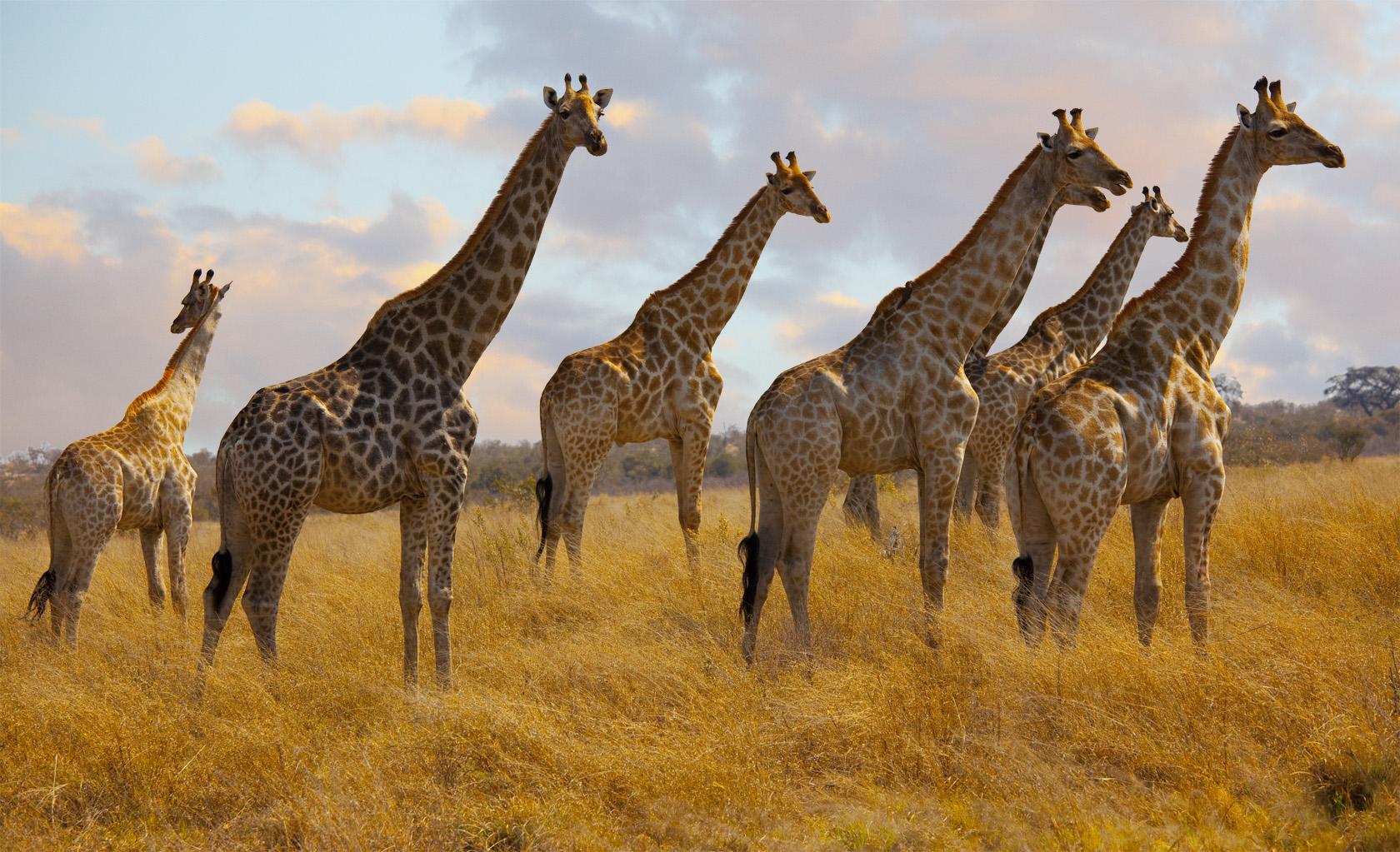 Jirafas de Africa - 1680x1023