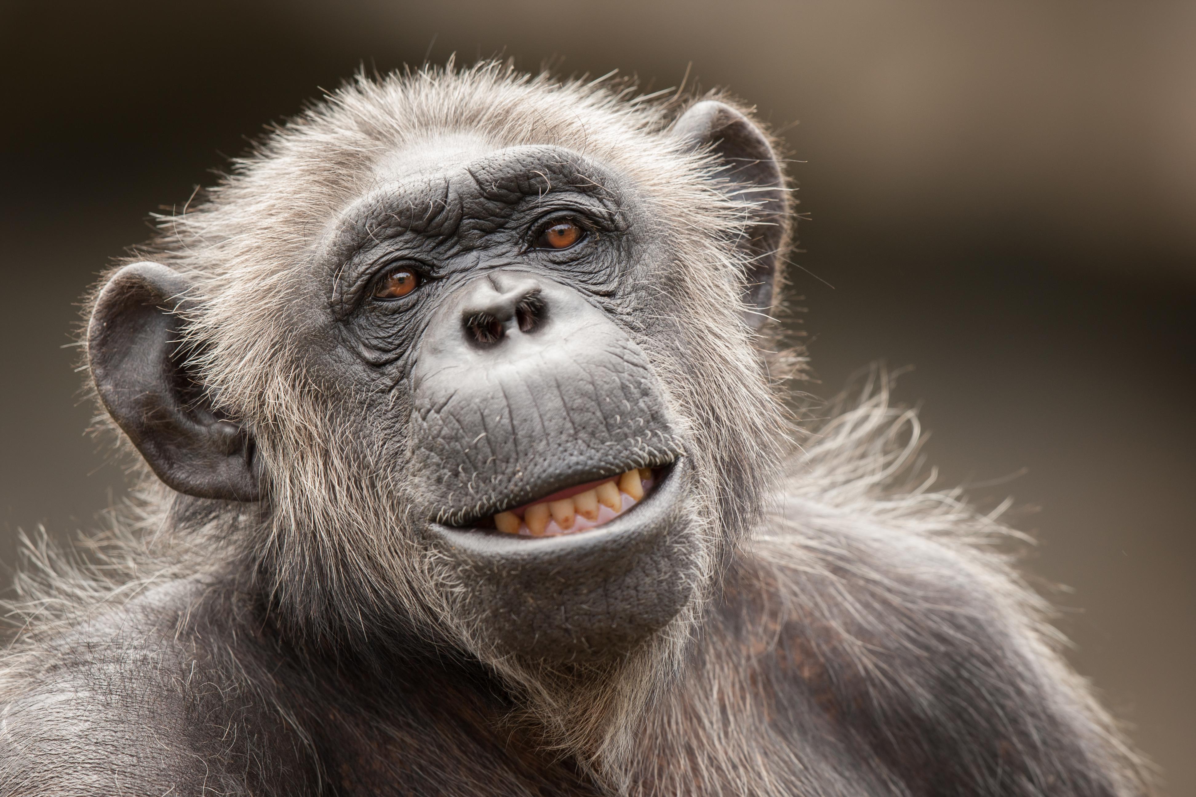 La cara de un chimpancé - 3888x2592