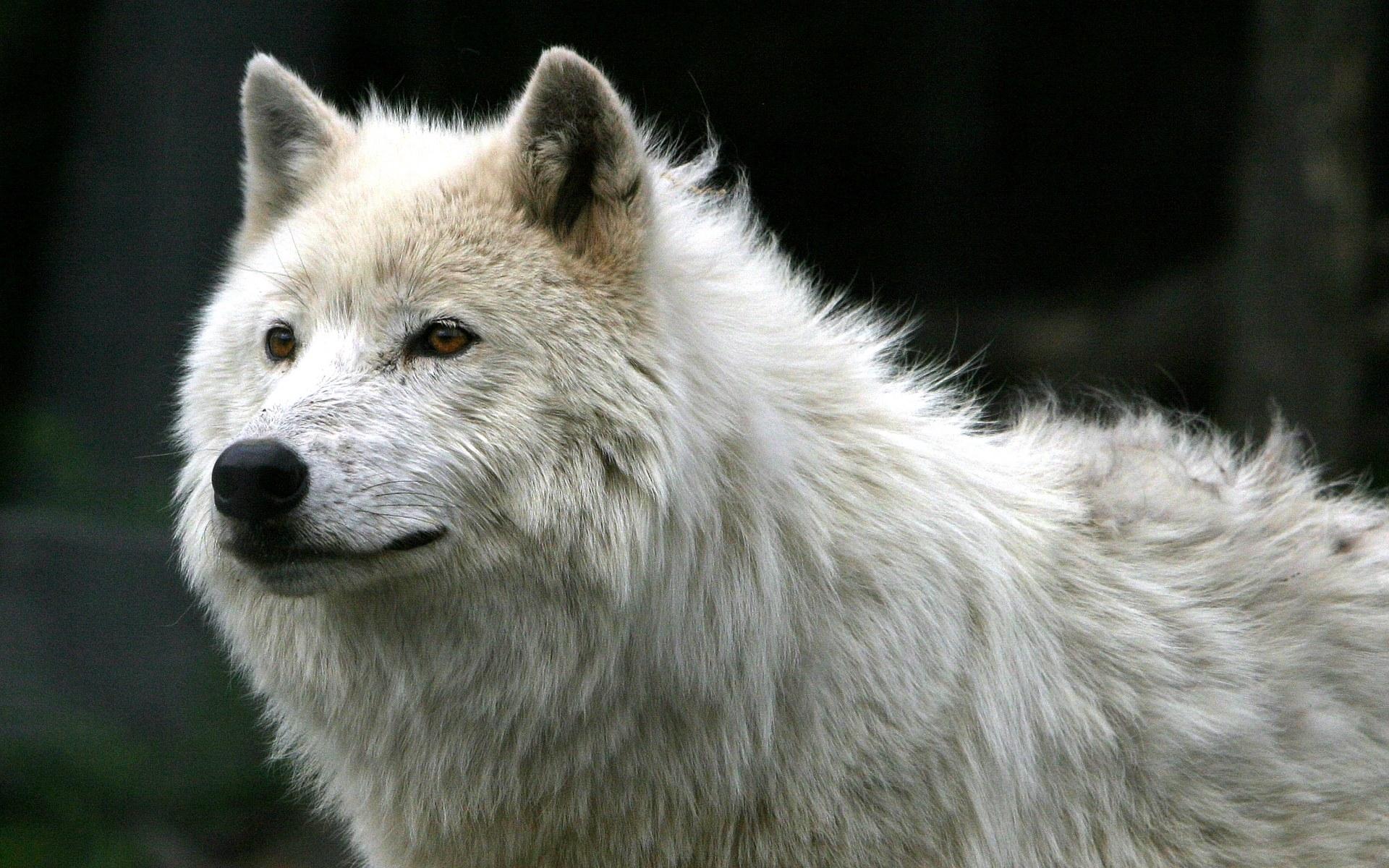 Lobo blanco - 1920x1200