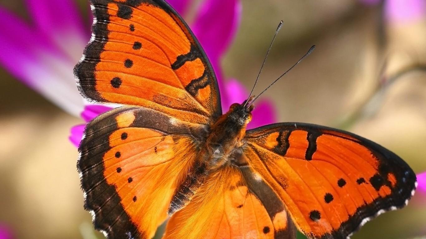 Mariposa naranja - 1366x768