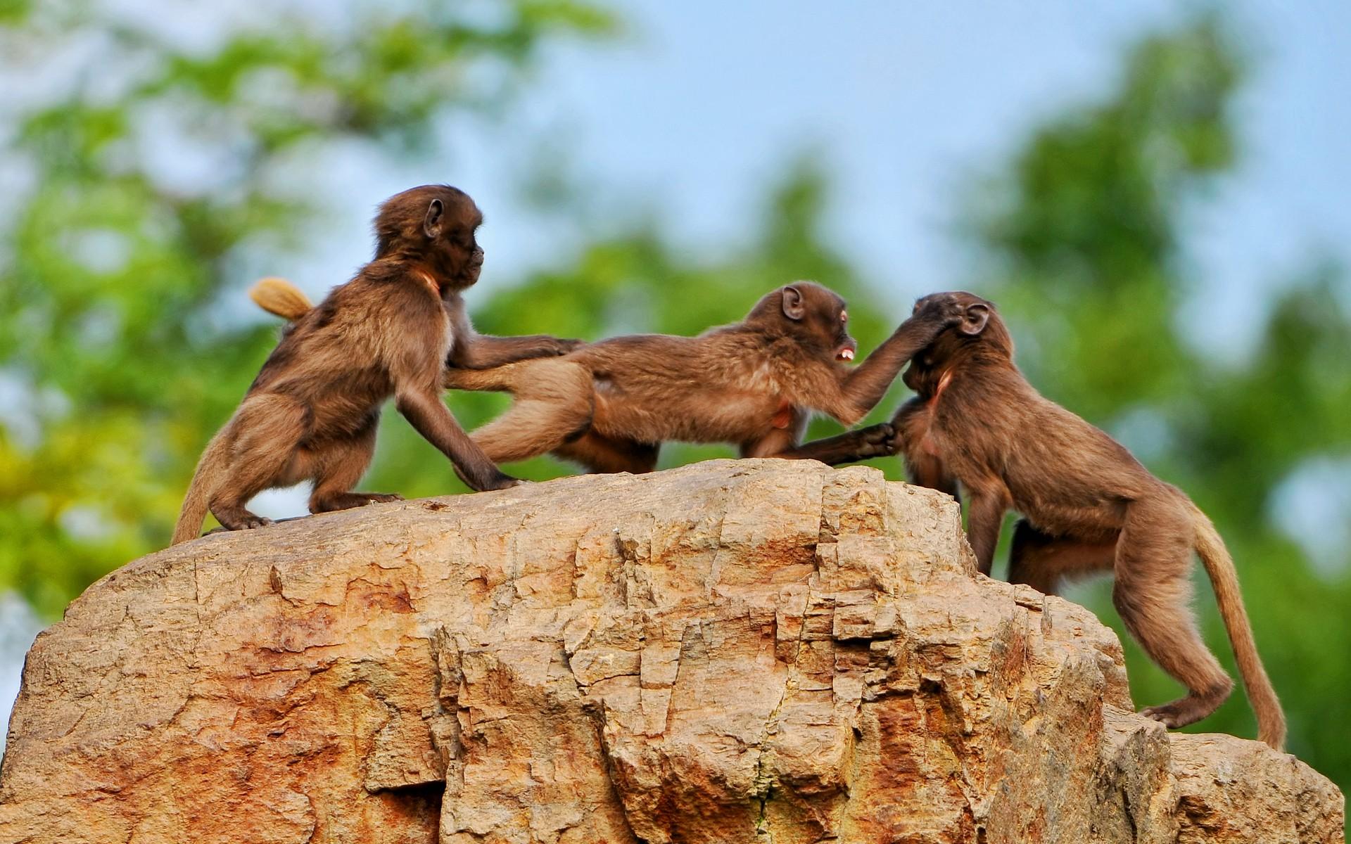 Monos peleando - 1920x1200