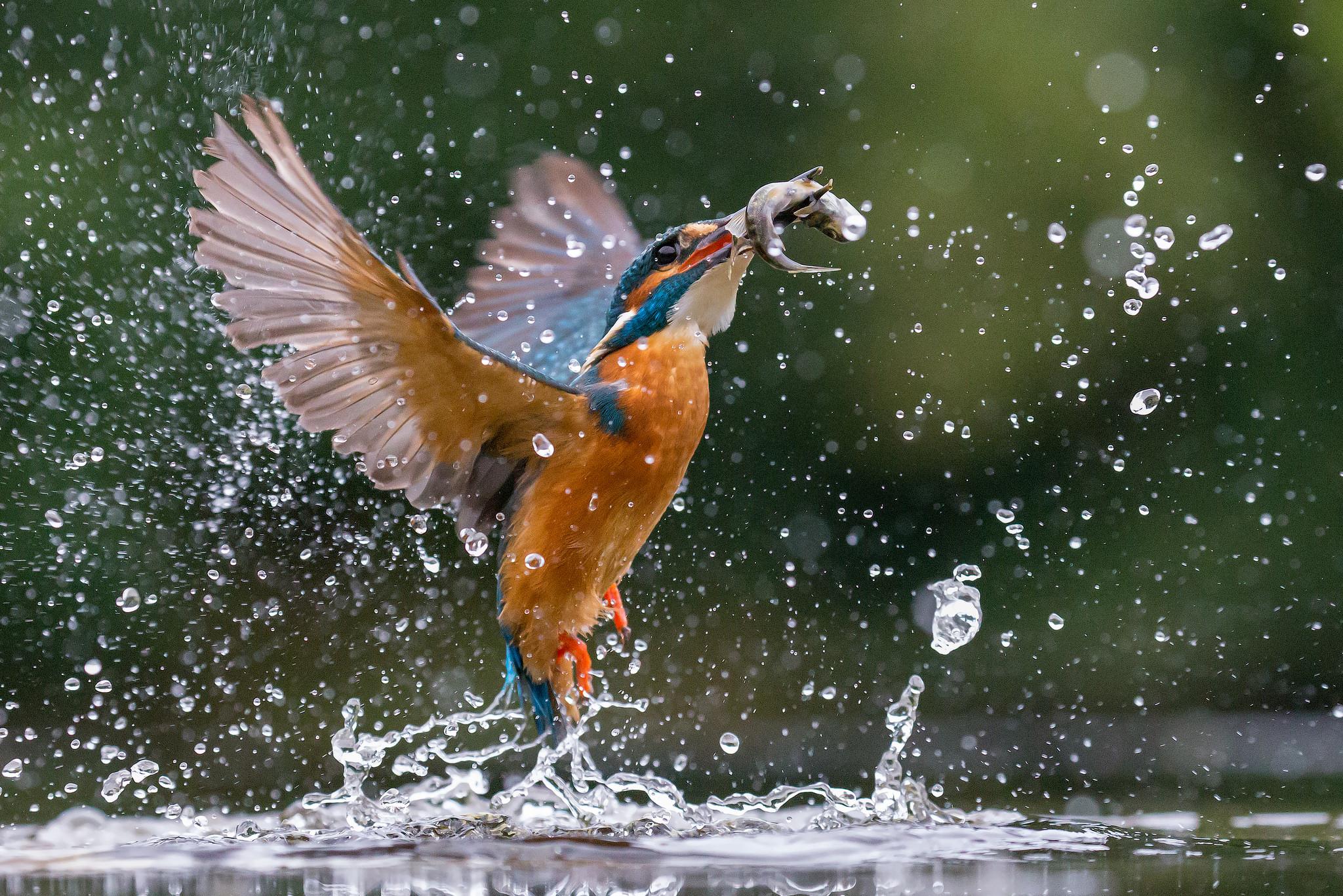 Pajaro cazando peces - 2048x1366