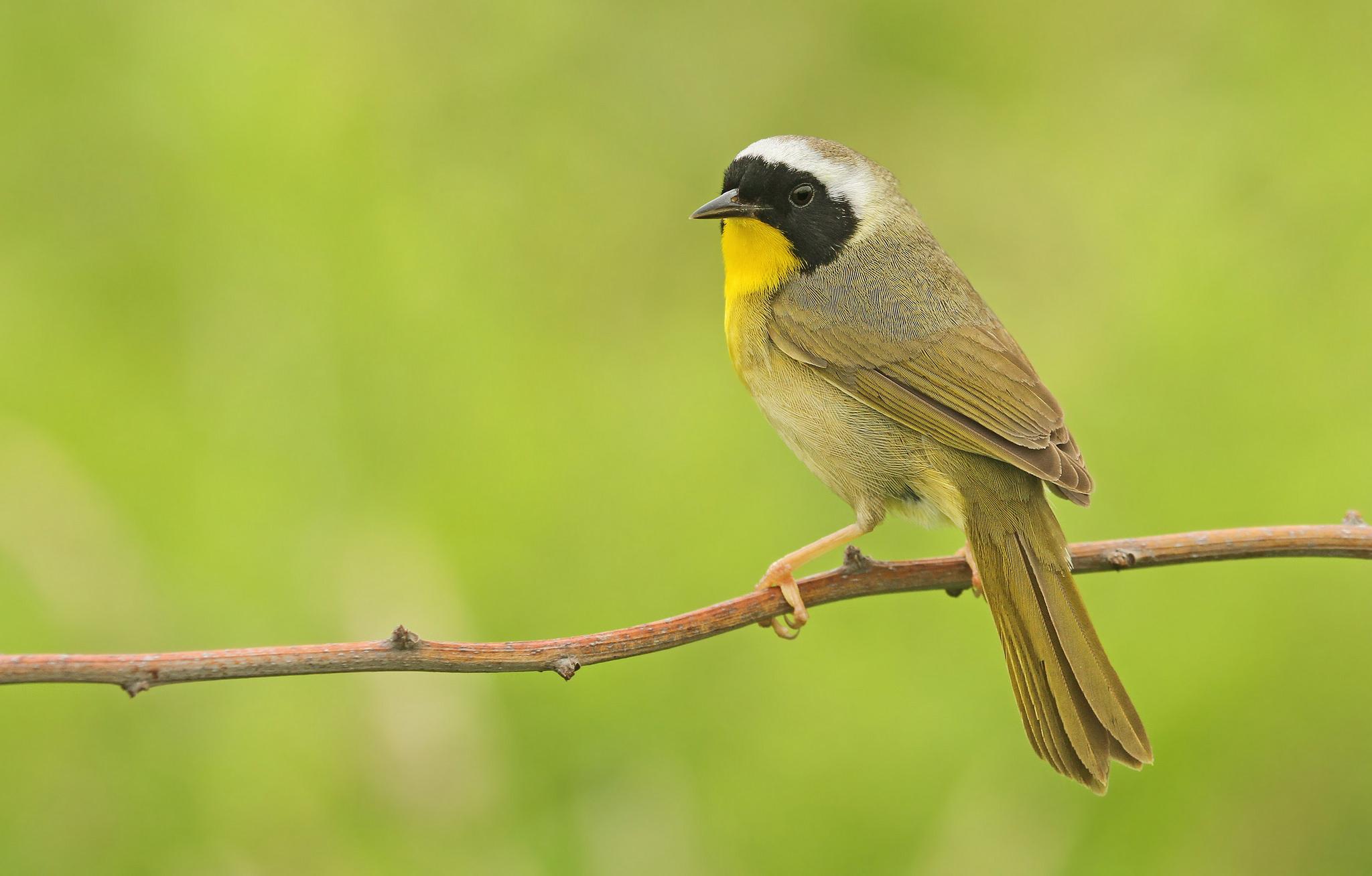 Pájaro pecho amarillo - 2048x1308