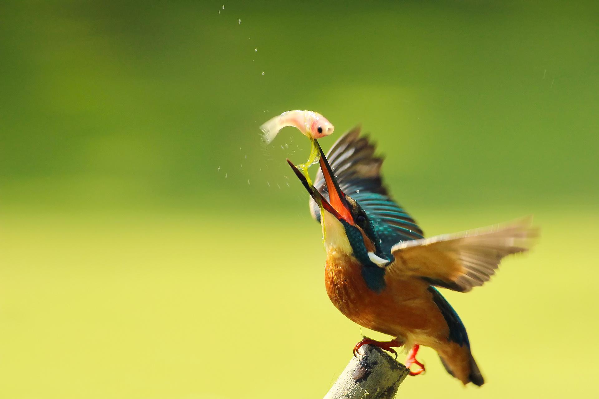 Pájaro pescando - 1920x1280