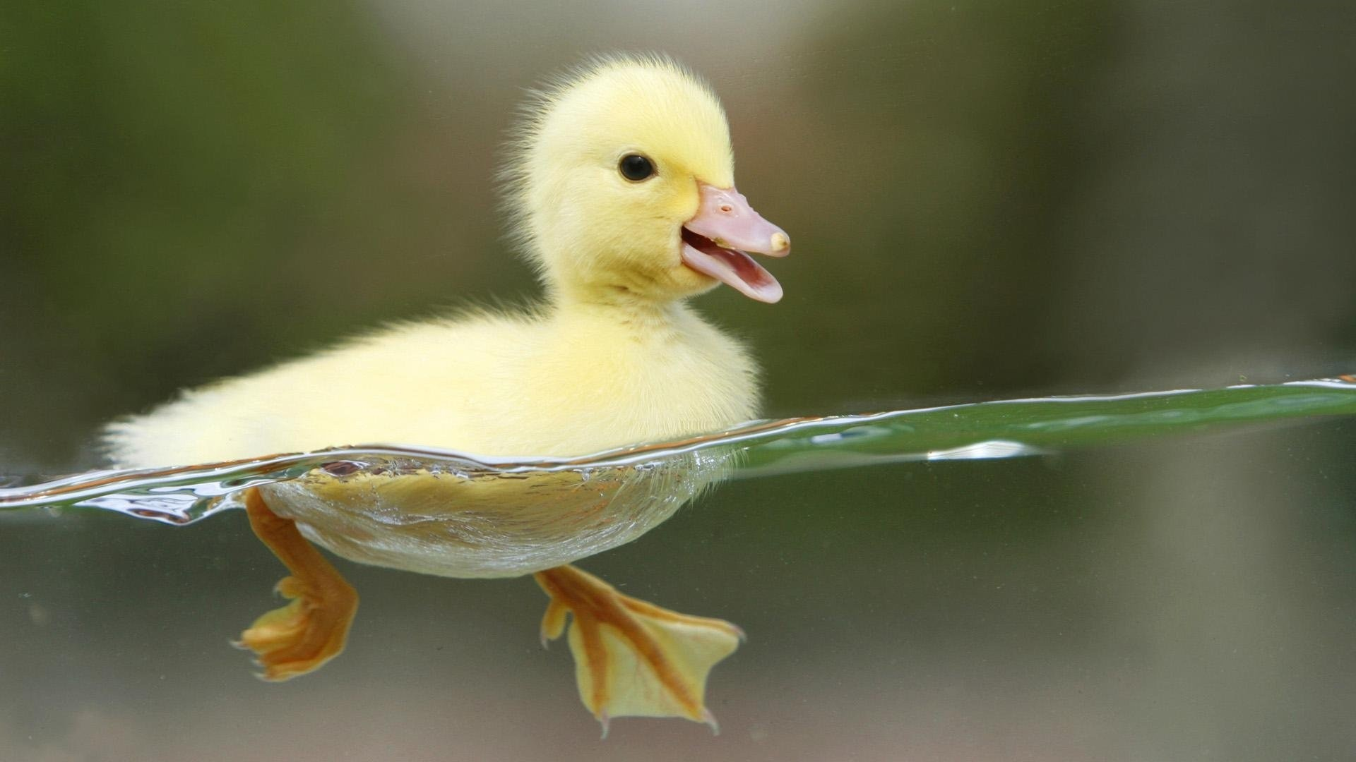 Pato amarillo - 1920x1080