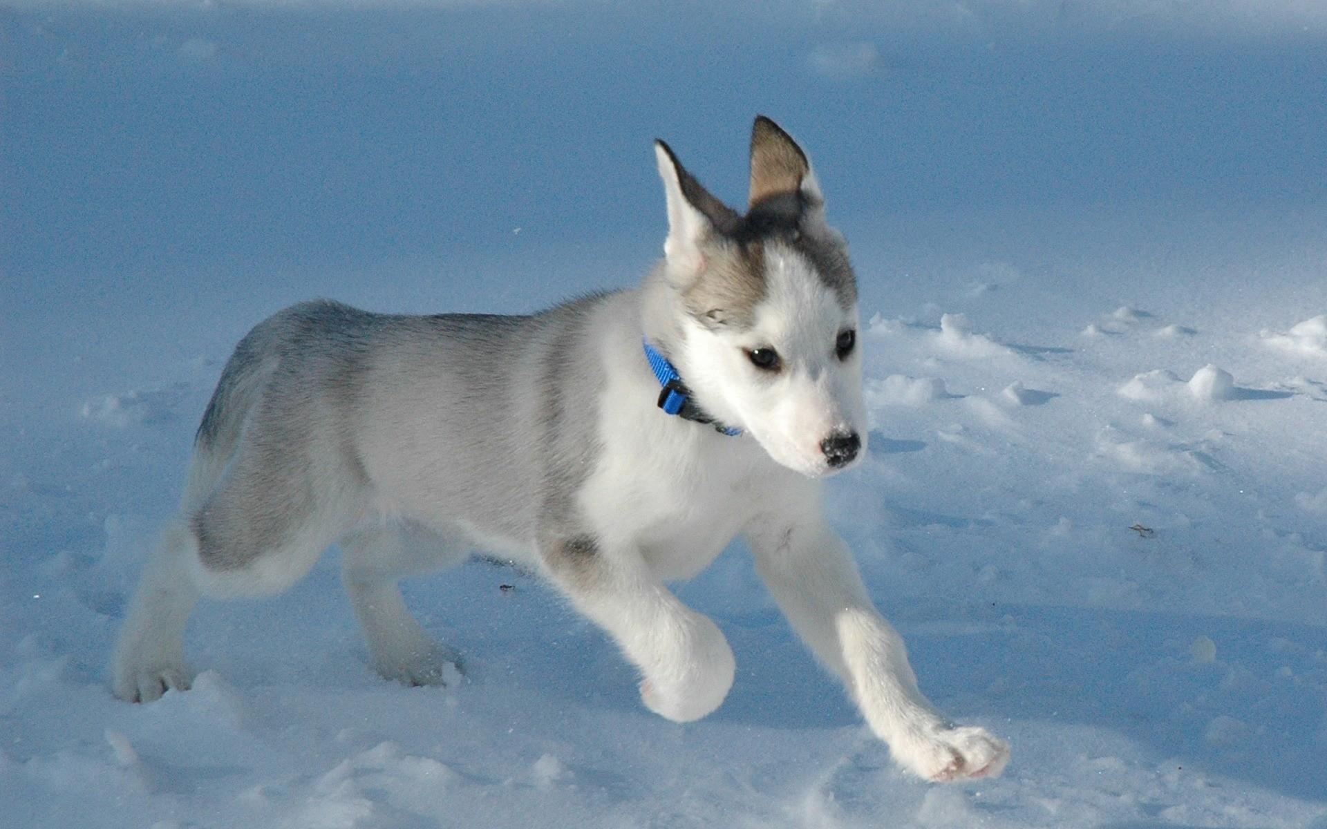 Pequeño perro lobo blanco - 1920x1200