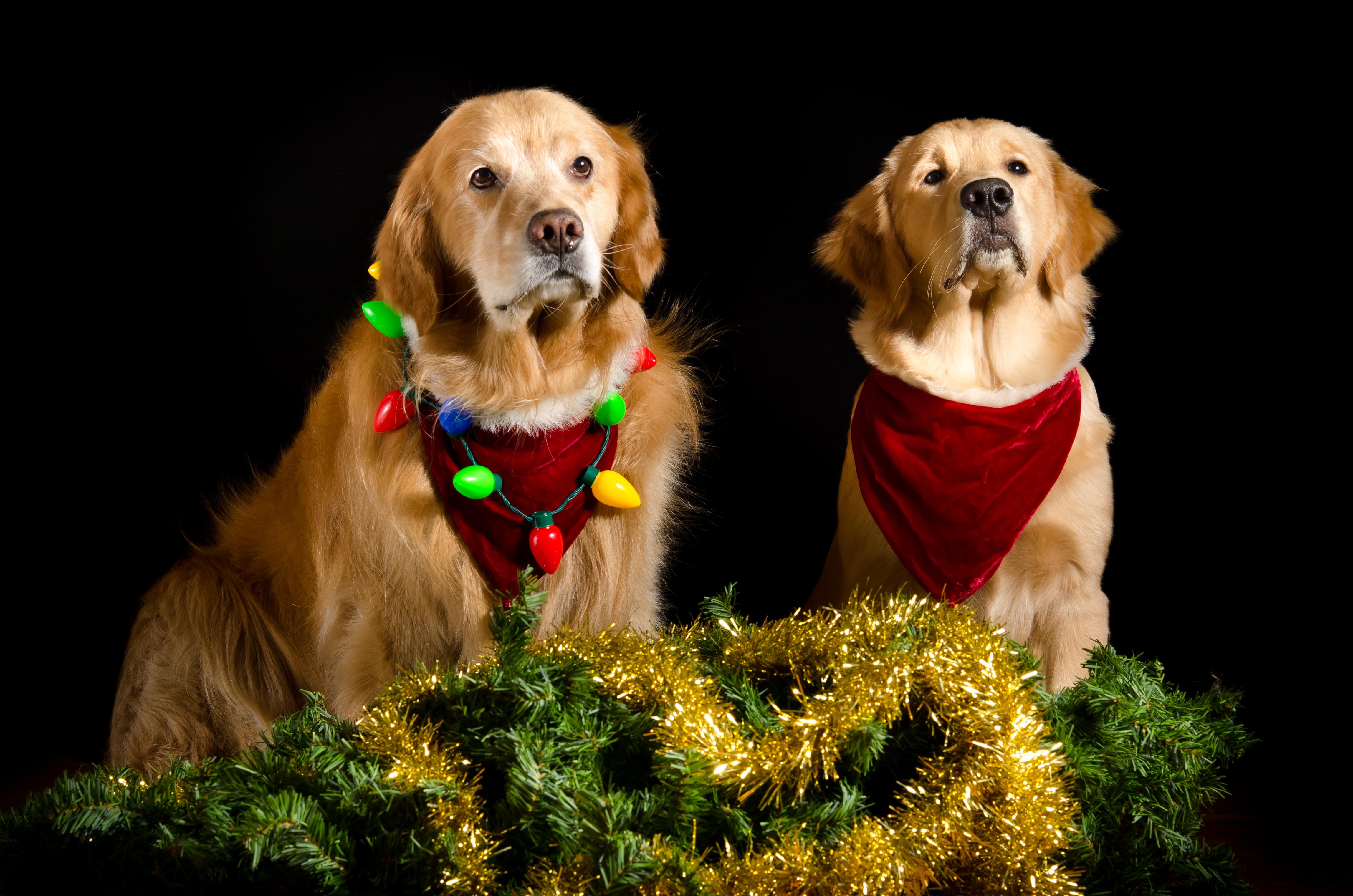 Perros con adornos Navidad - 4594x3043