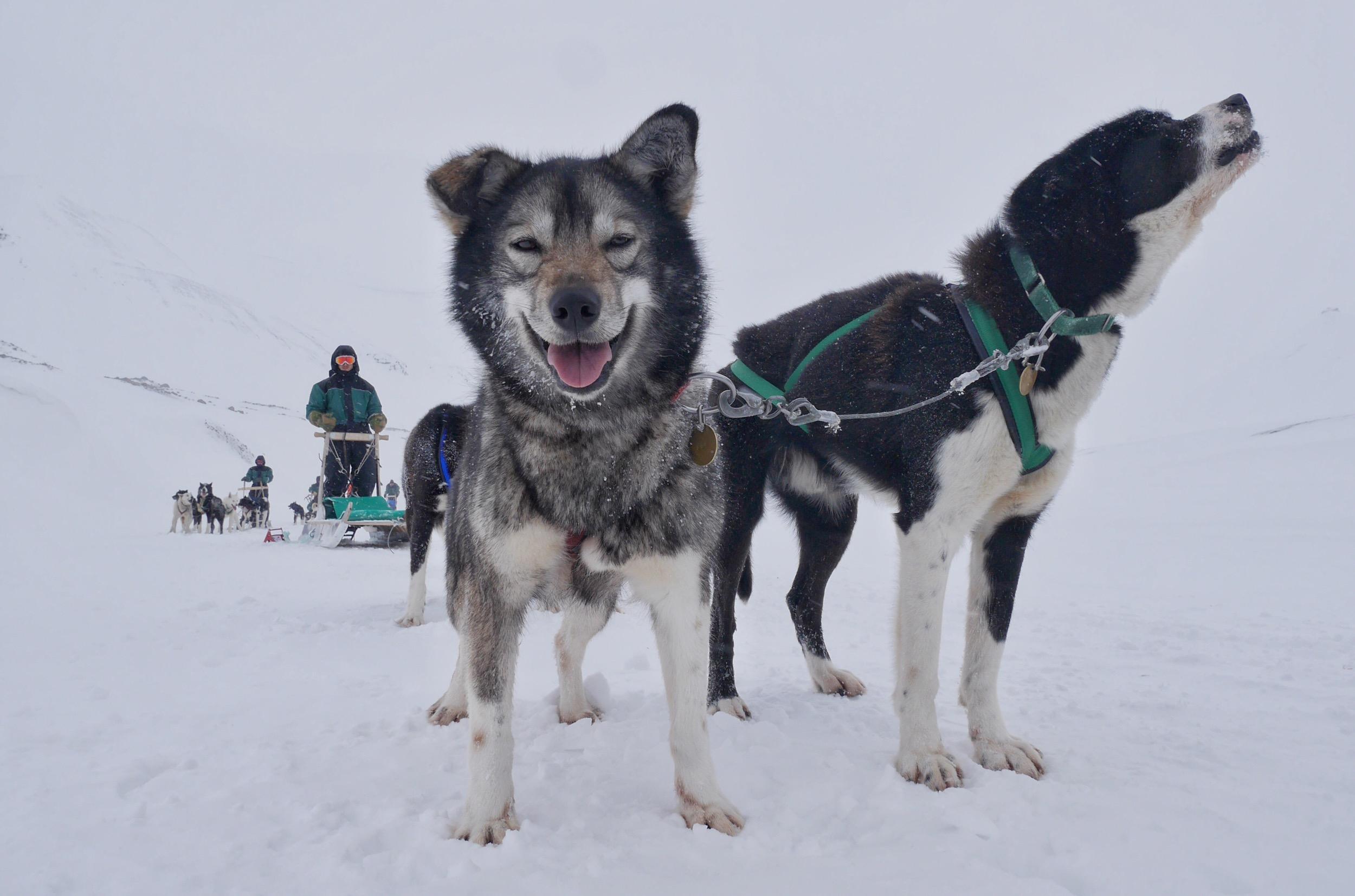 Perros y un trineo - 2500x1653