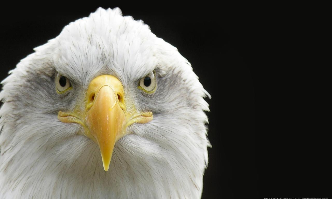Aguila de cabeza blanca - 1280x768