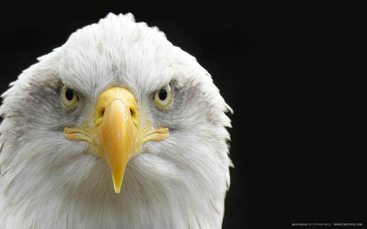 Aguila de cabeza blanca - 1280x800