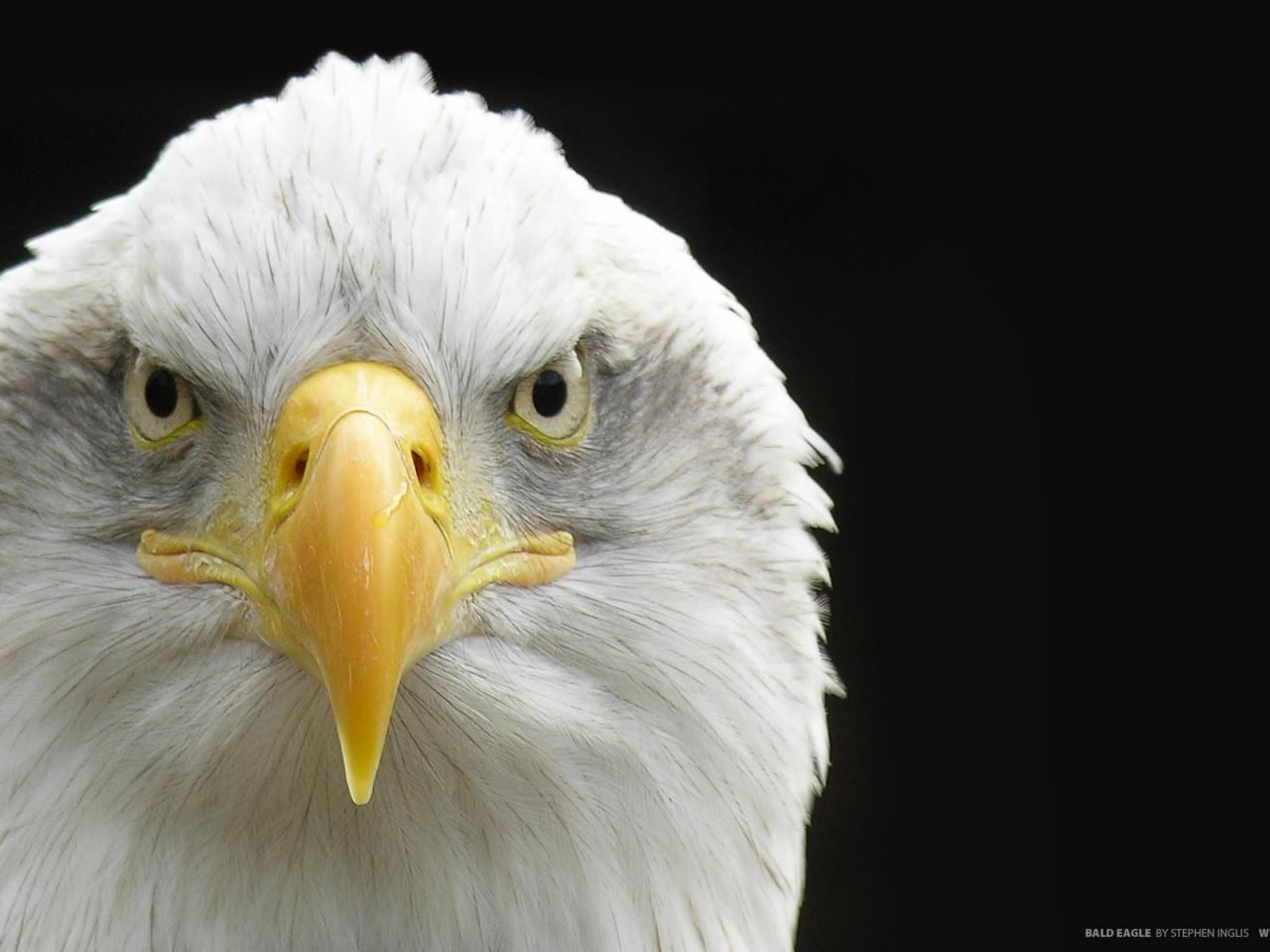 Aguila de cabeza blanca - 1280x960