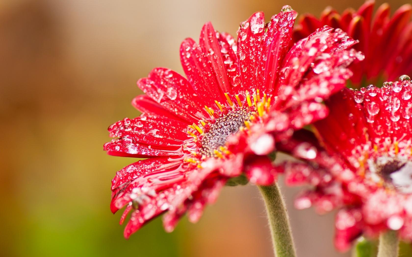 Bella flor roja - 1680x1050