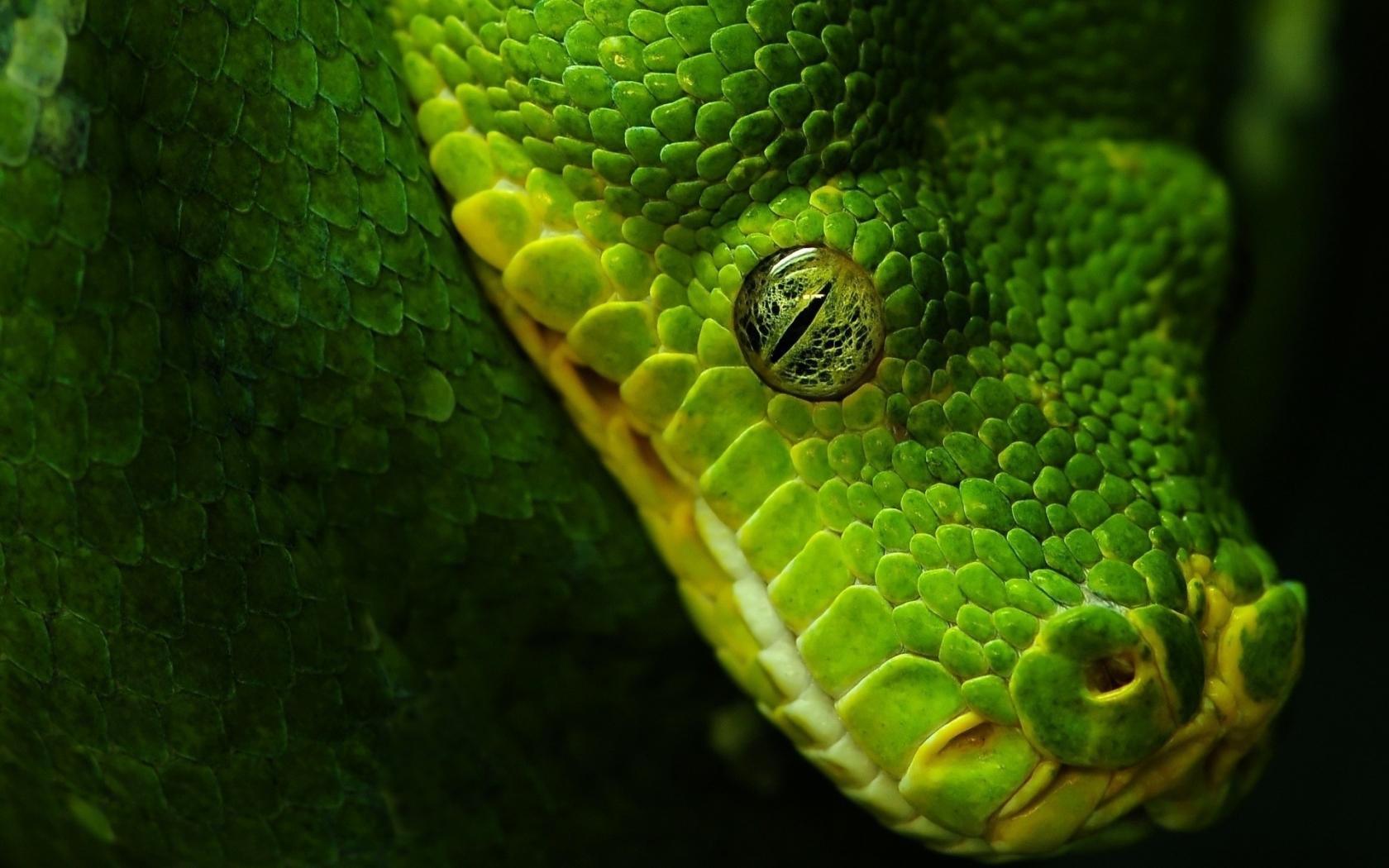 Cabeza de serpiente verde - 1680x1050