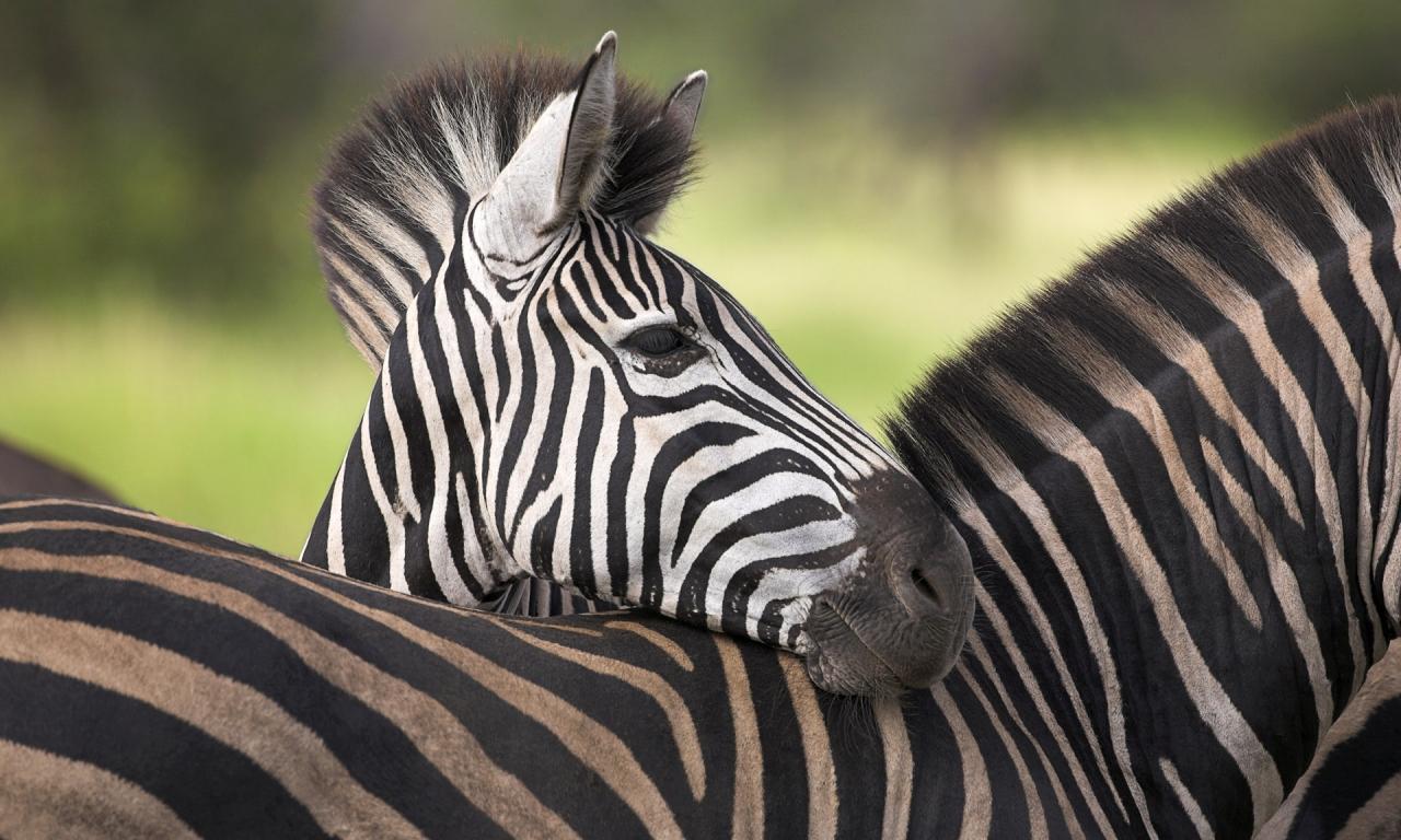 Cebras africanas - 1280x768