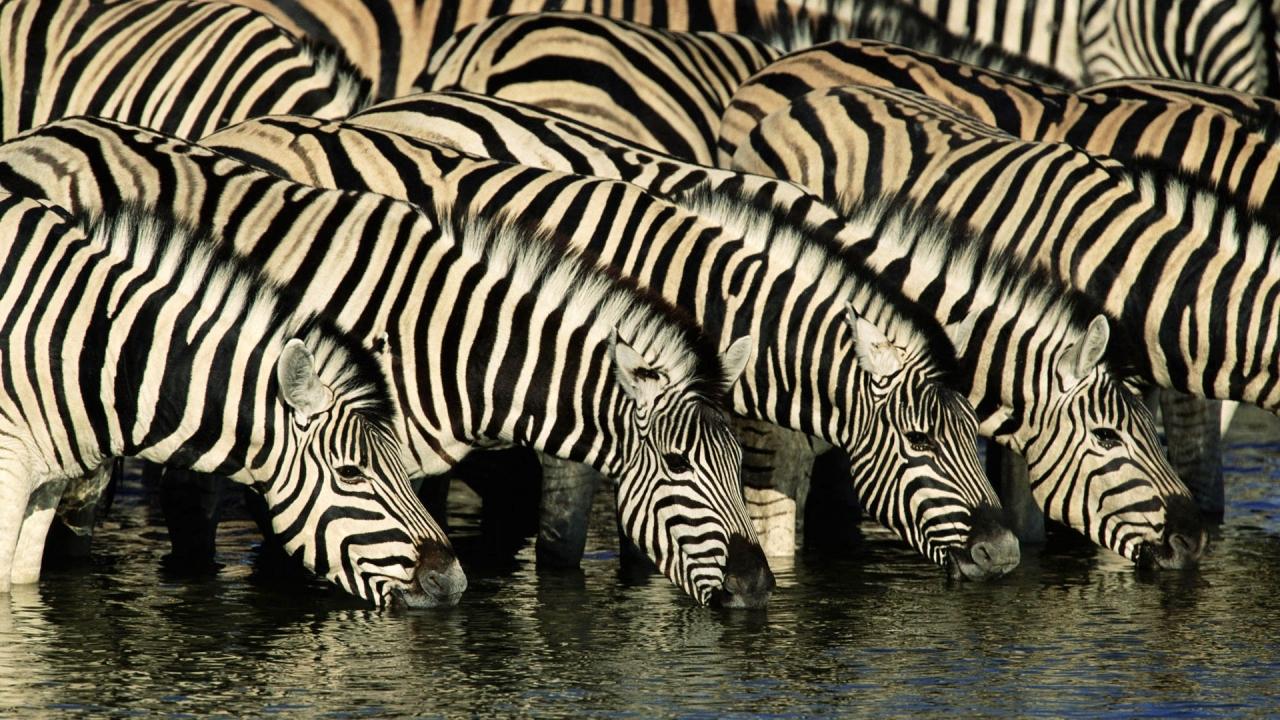Cebras tomando agua - 1280x720