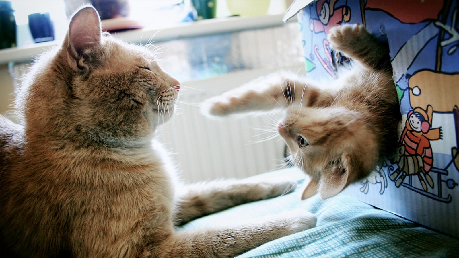 Dos gatos jugando - 1600x900