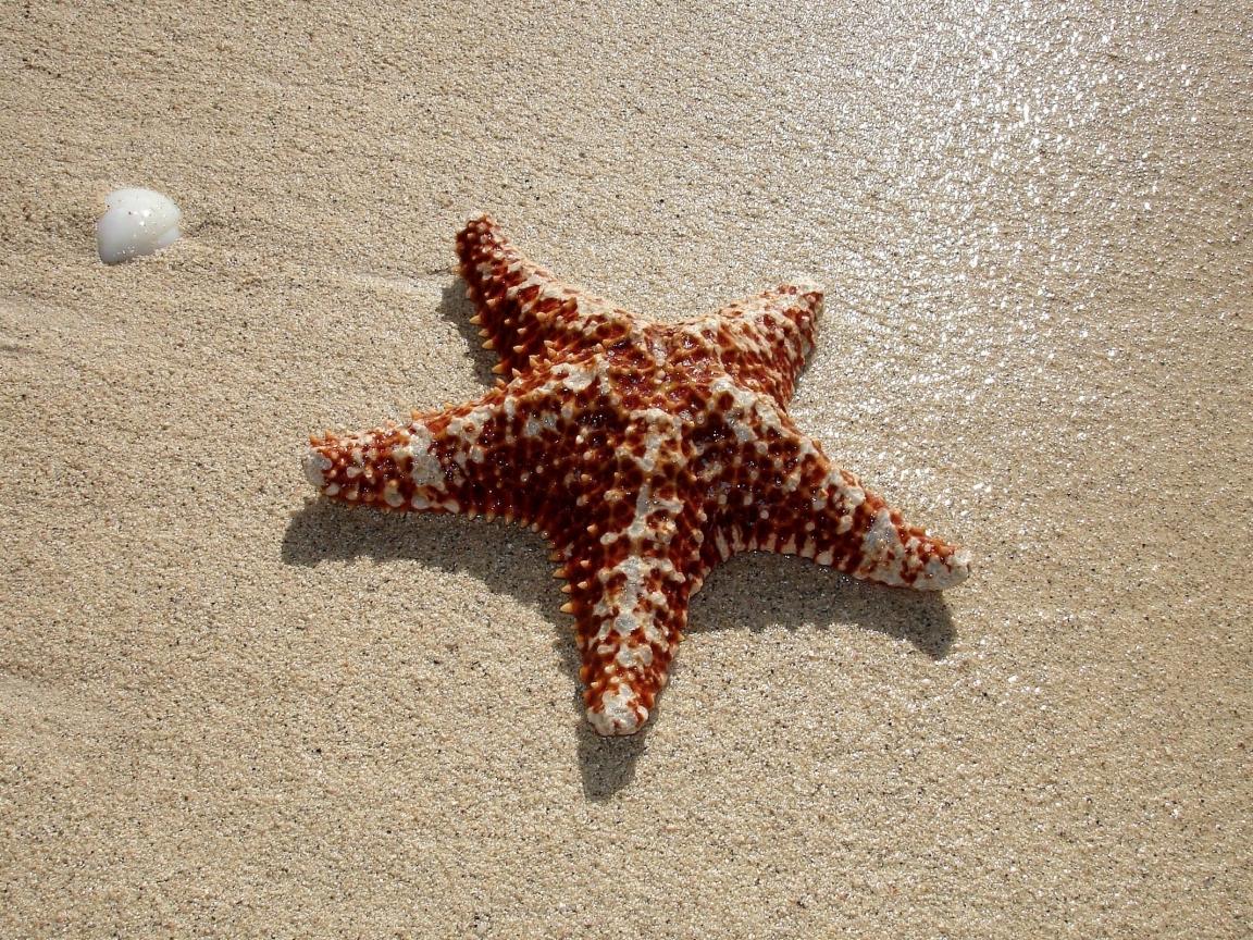 Estrella de mar - 1152x864