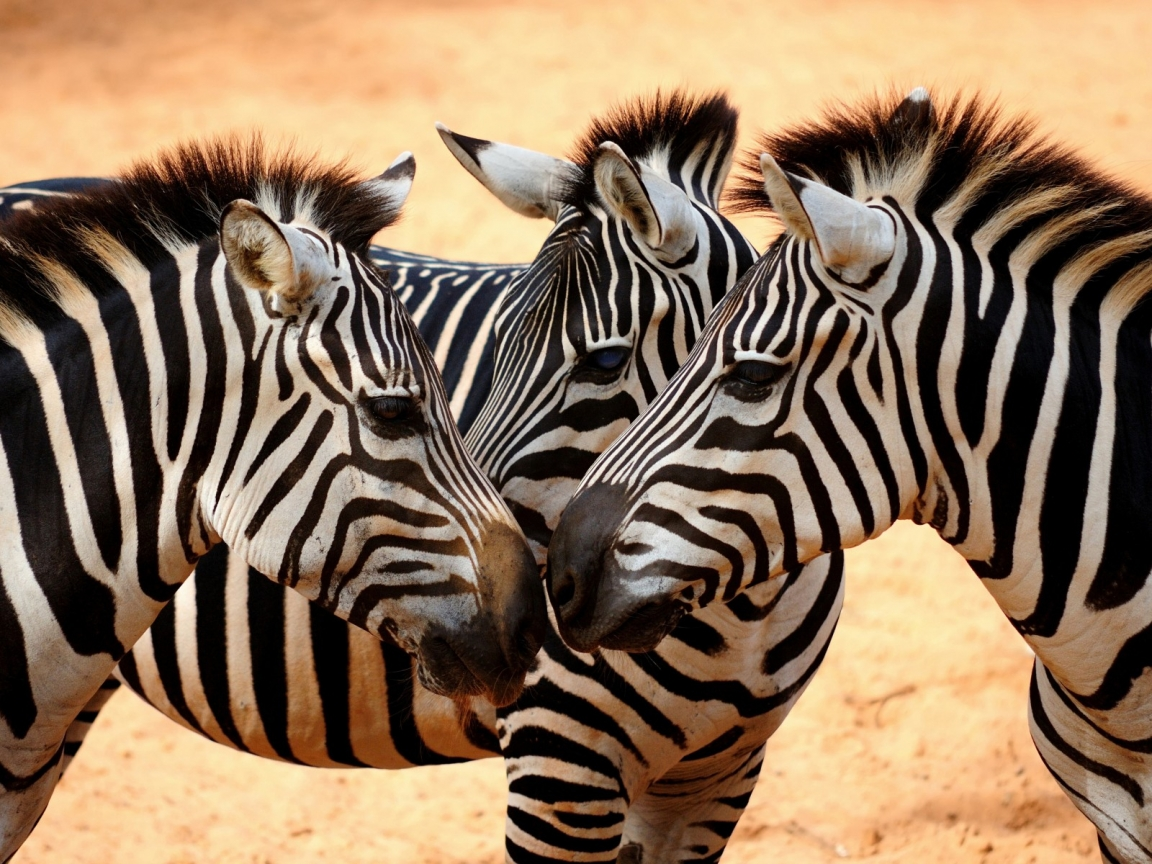 Familia de cebras - 1152x864