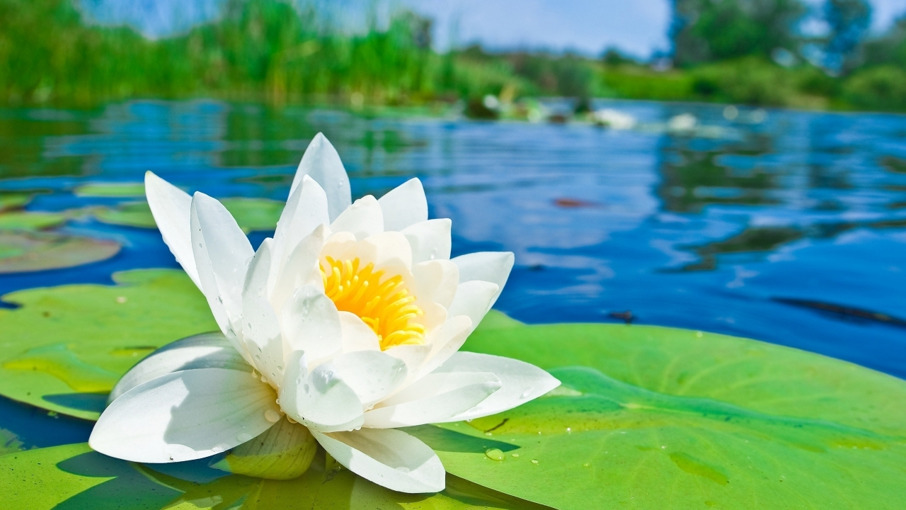 Flor blanca - 1280x720