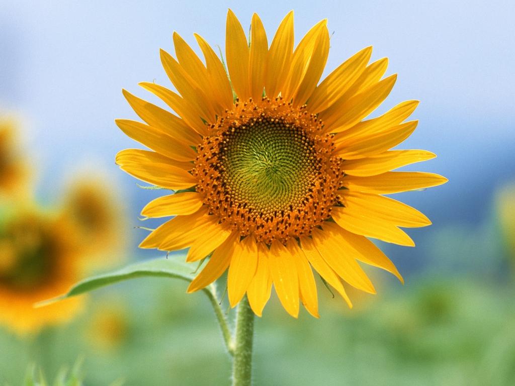 Flor de Girasol - 1024x768