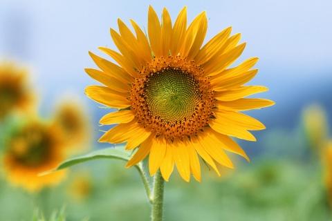 Flor de Girasol - 480x320