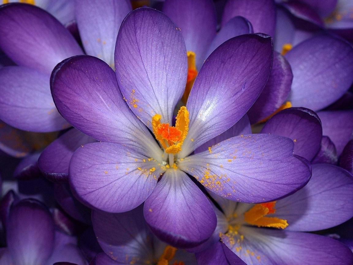 Flor de hojas moradas - 1152x864