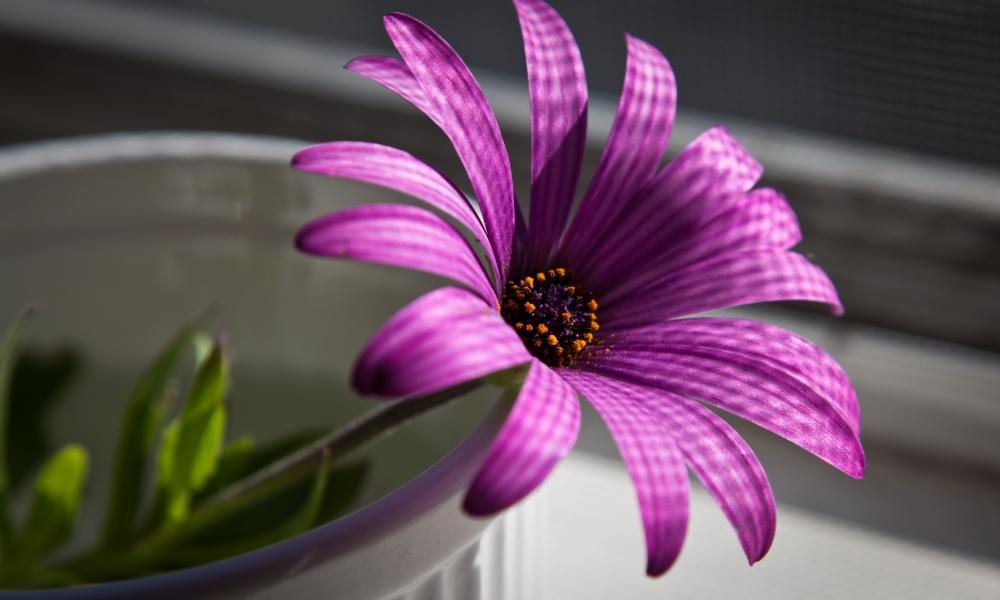 Flor purpura - 1000x600