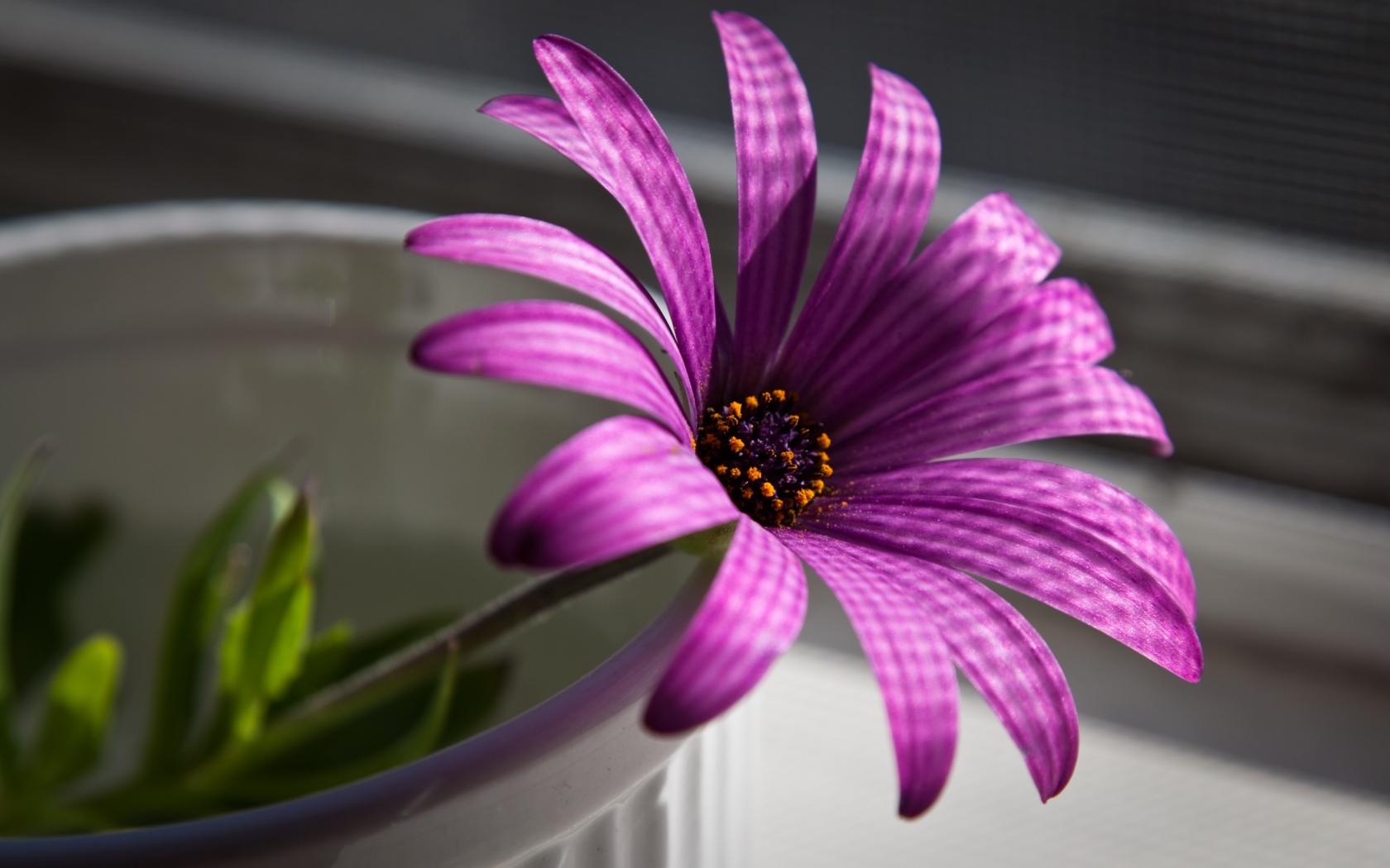Flor purpura - 1680x1050