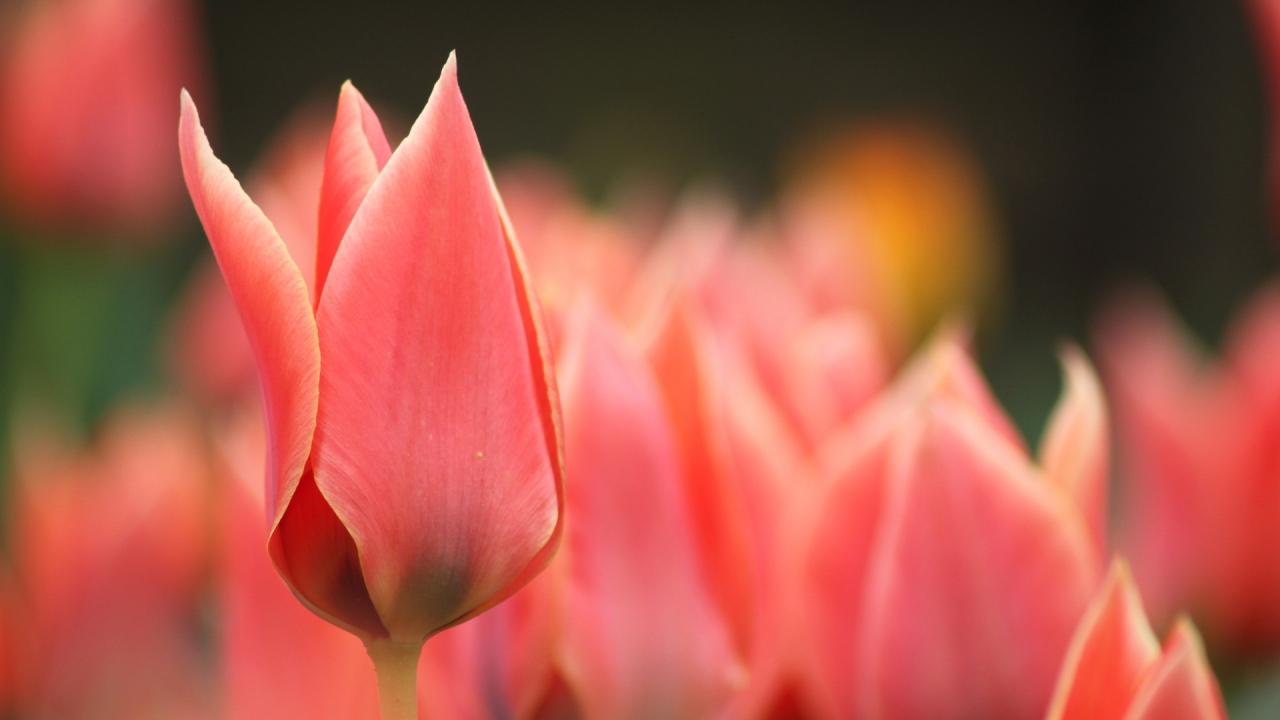 Flor tulipan roja - 1280x720
