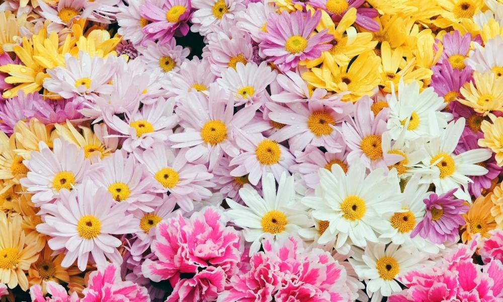Flores margaritas de colores - 1000x600