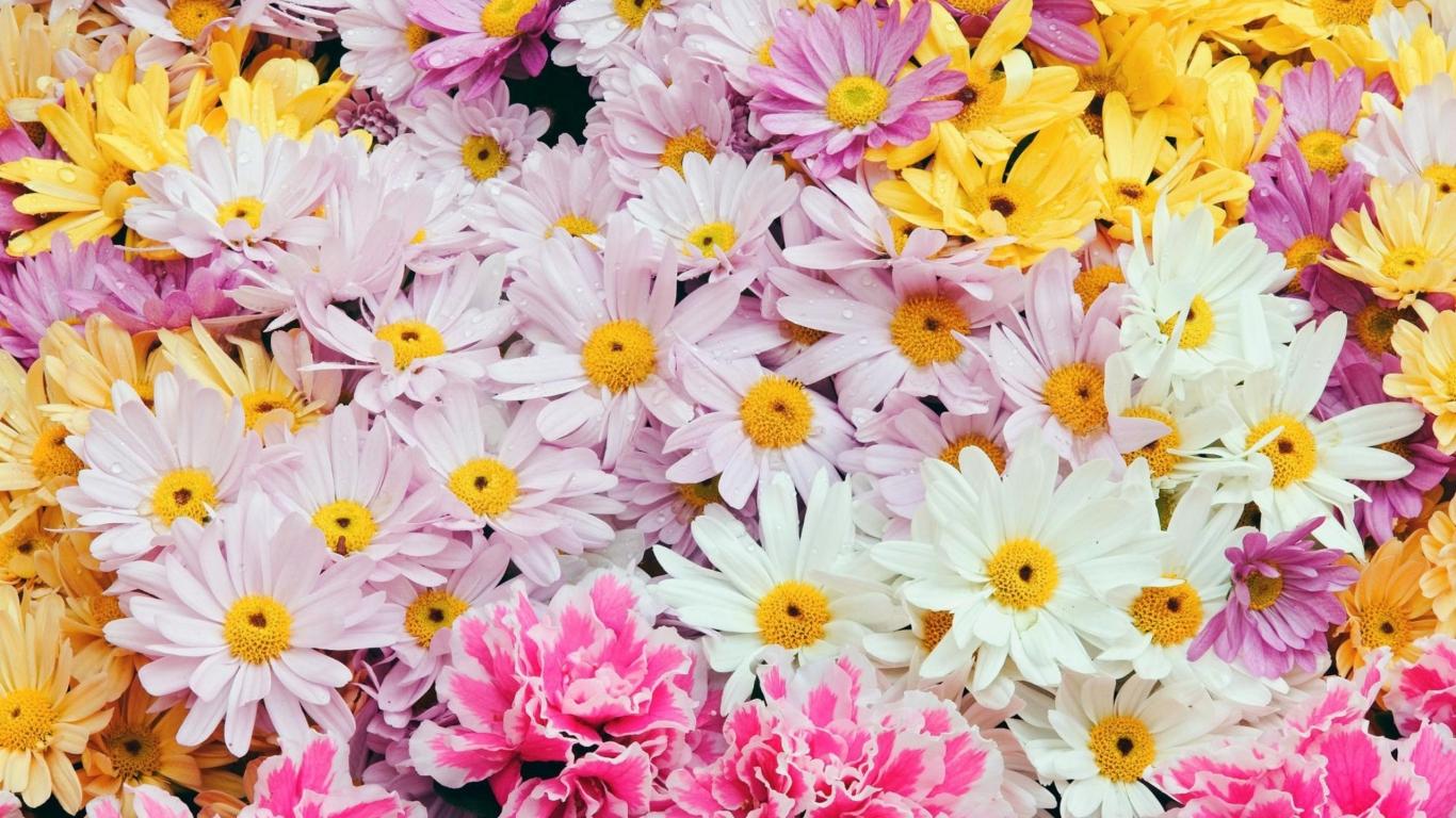 Flores margaritas de colores - 1366x768