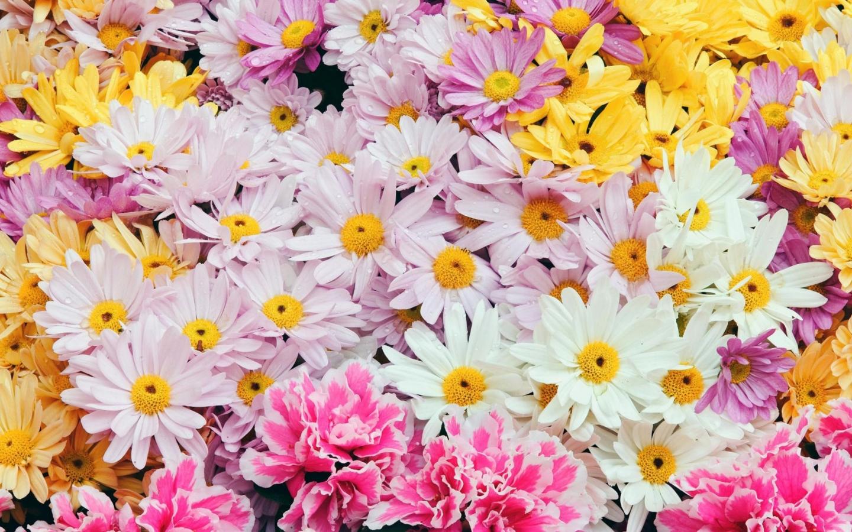 Flores margaritas de colores - 1440x900