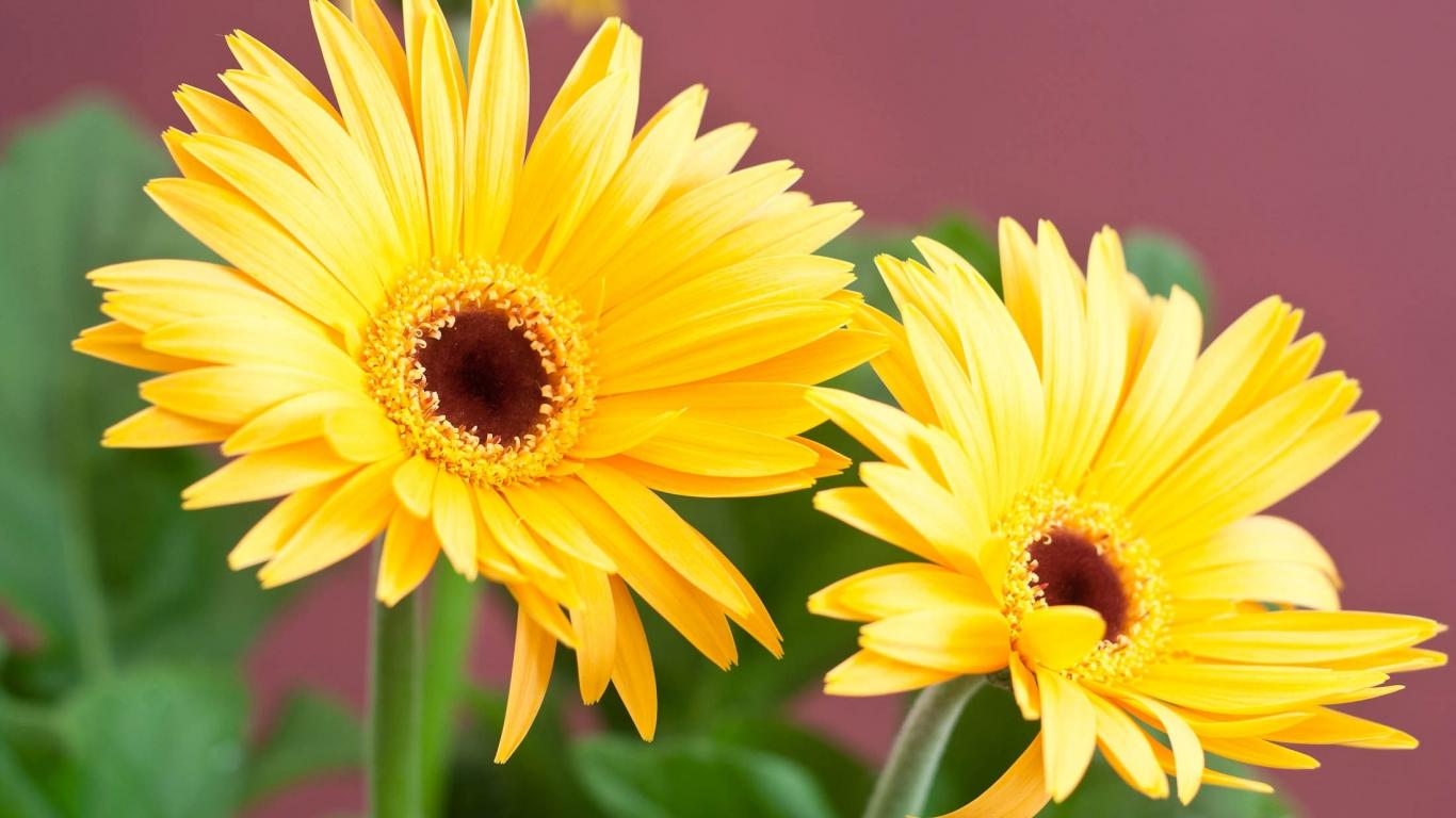 Flores margaritas amarillas - 1366x768